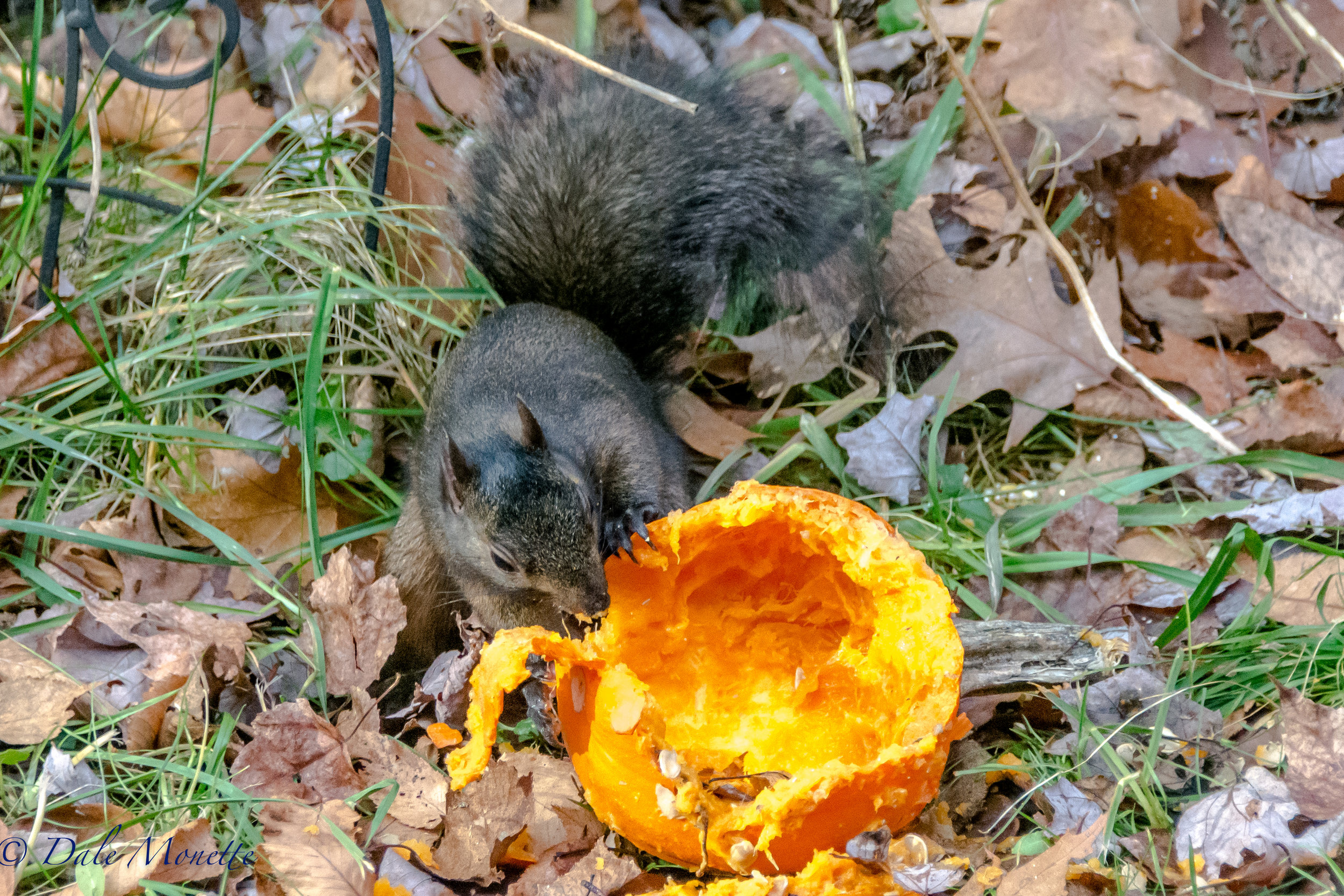 One of the 2 black squirrels we have here was enjoying the pumpkin we put out there for them. We have 4 grays and 2 blacks keeping it exciting around here most of the time.....  12/3/16