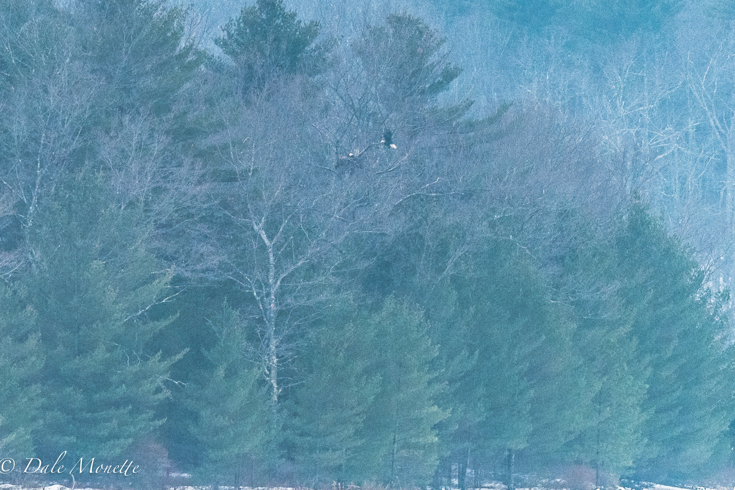 A pair of about 14 bald eagles that call Quabbin reservoir their home.  This particular pair are imprinted on this best and territory and stick here year round.  I made this picture on December 24th, 2016.