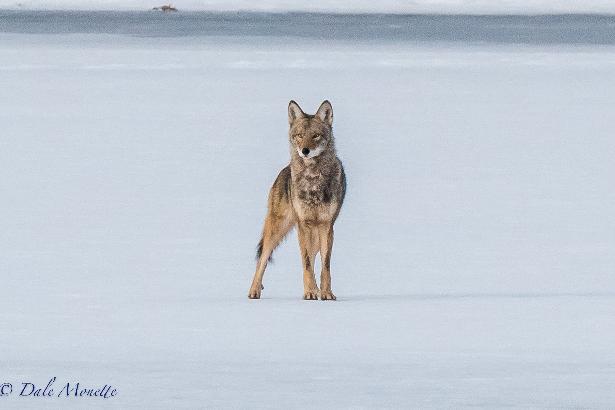 "A very intent stare from this eastern coyote who was trying to see where the ""click"" was coming from in the woods along the shore of the northern Quabbin Reservoir  1/2/17!"