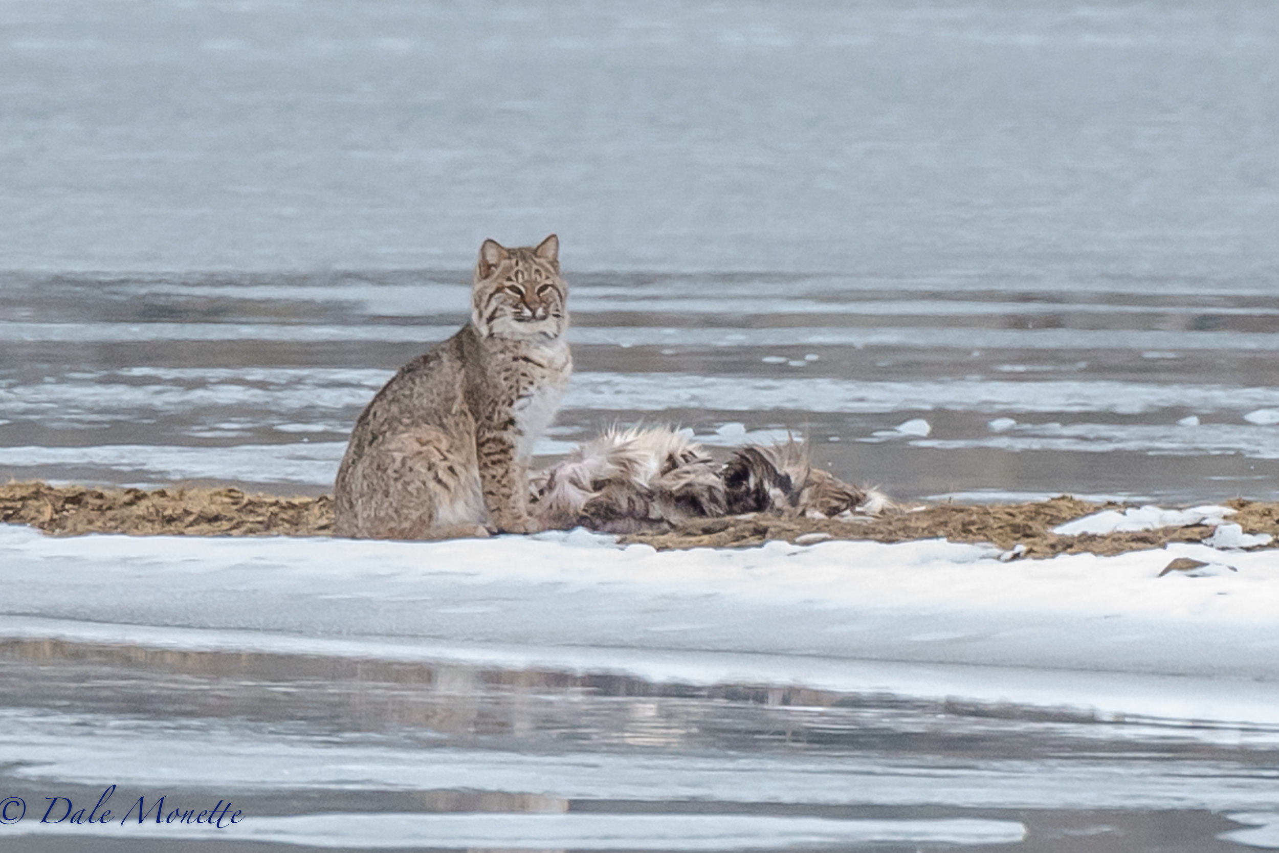I watched this bobcat feed on a deer carcass on the ice today for about 2 and a half hours.  It was quite an experience !  1/4/17