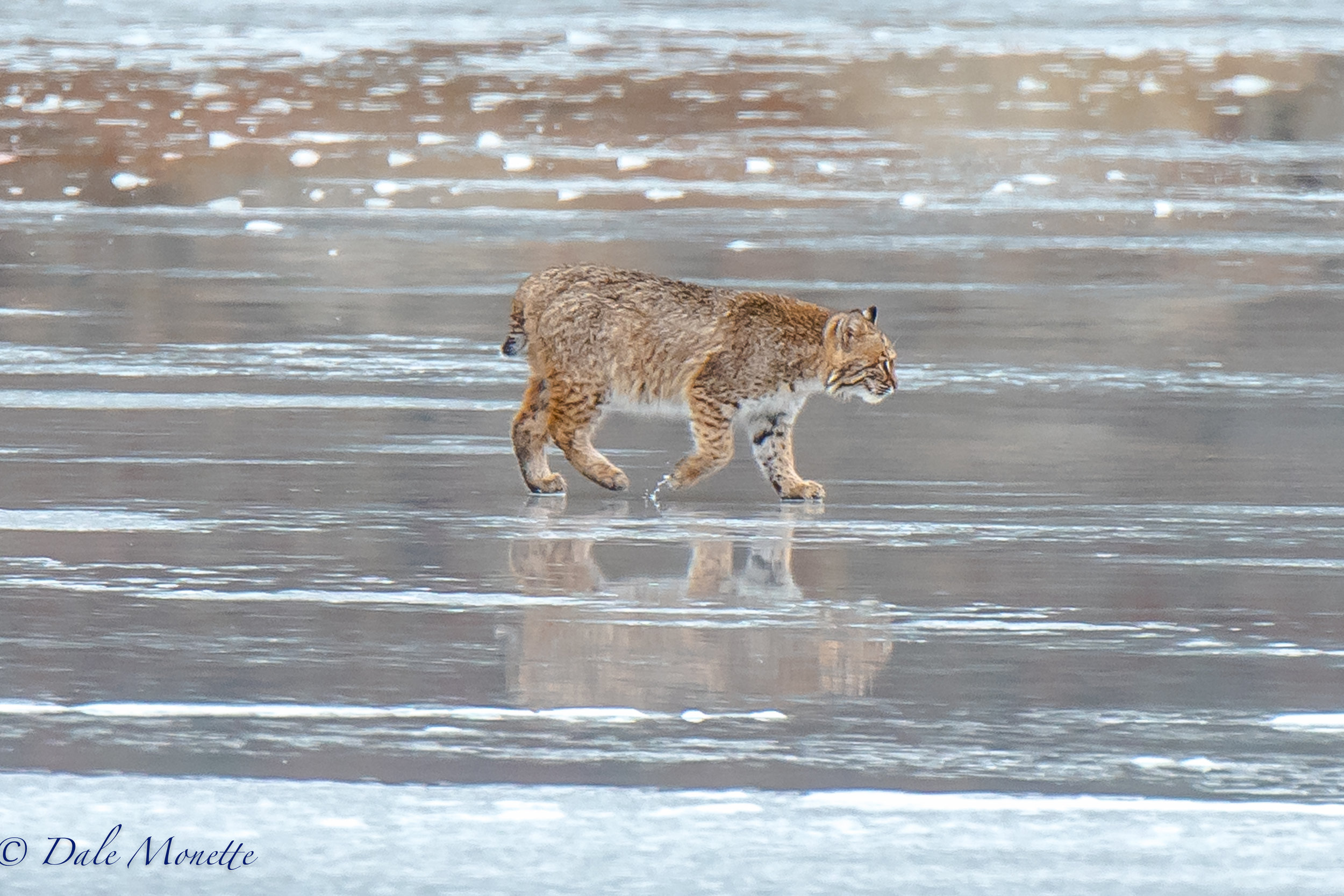 The same bobcat wandering around the ice taking a break from feeding.  A beautiful cat to say the least!  1/4/17