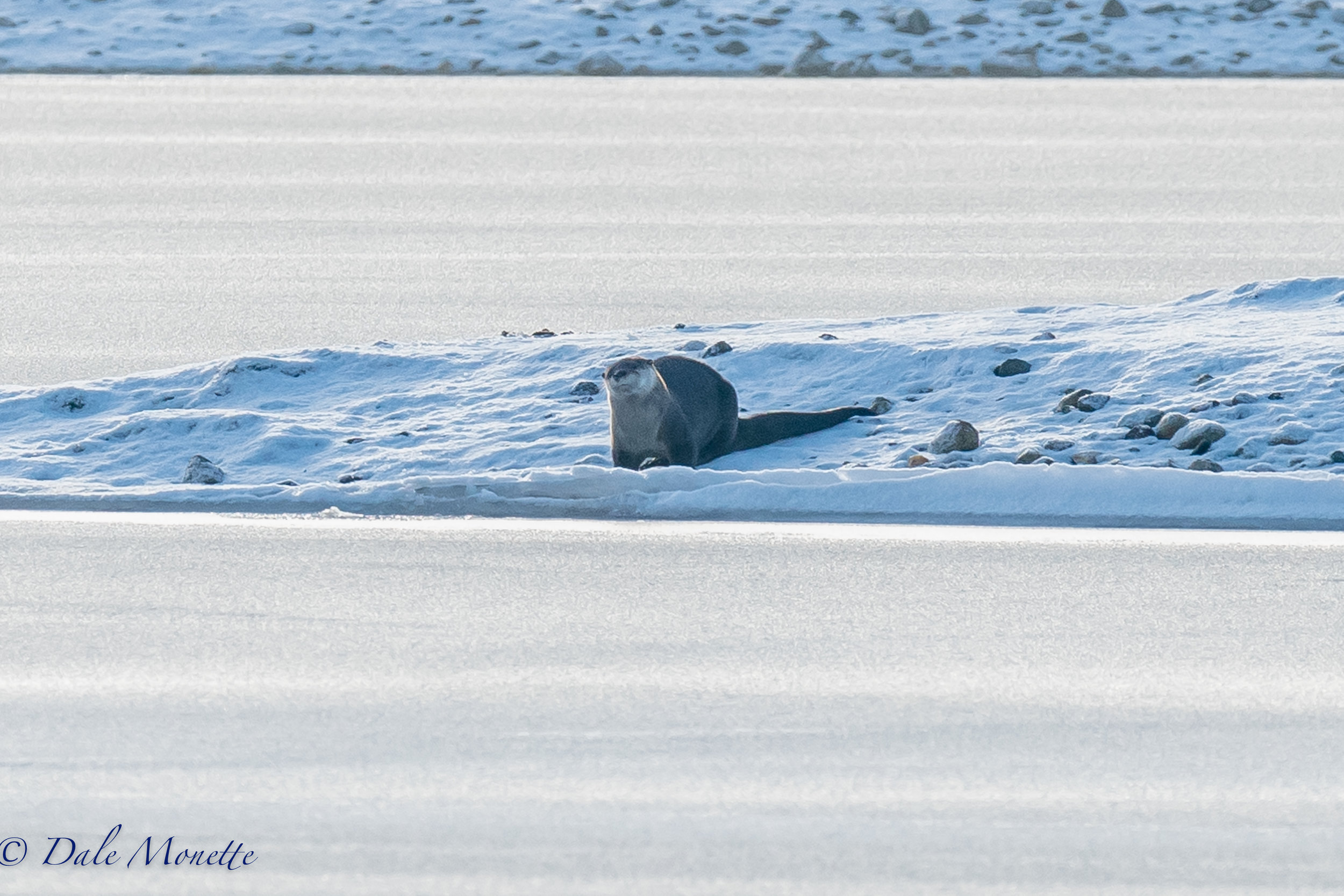 I found this northern river otter rolling in the snow after fishing for his breakfast in the Quabbin Reservoir this morning.  I watched him for about 45 minutes.  I love these guys and its always fun to watch them in their world.  1/19/17