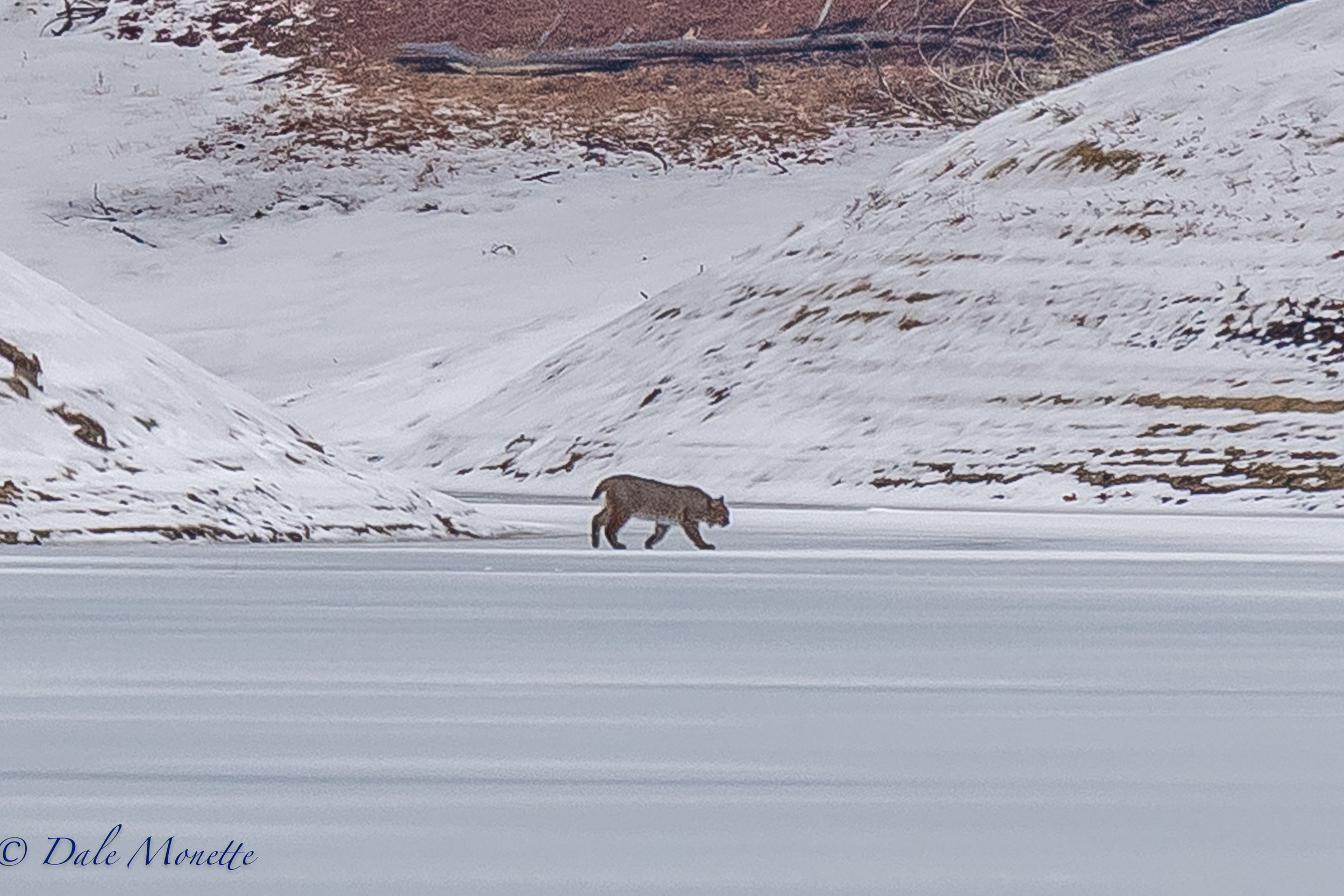 I was surprised this morning by this bobcat way across the channel  walking along the ice!  You never know what you will see at the Quabbin !  1/20/17