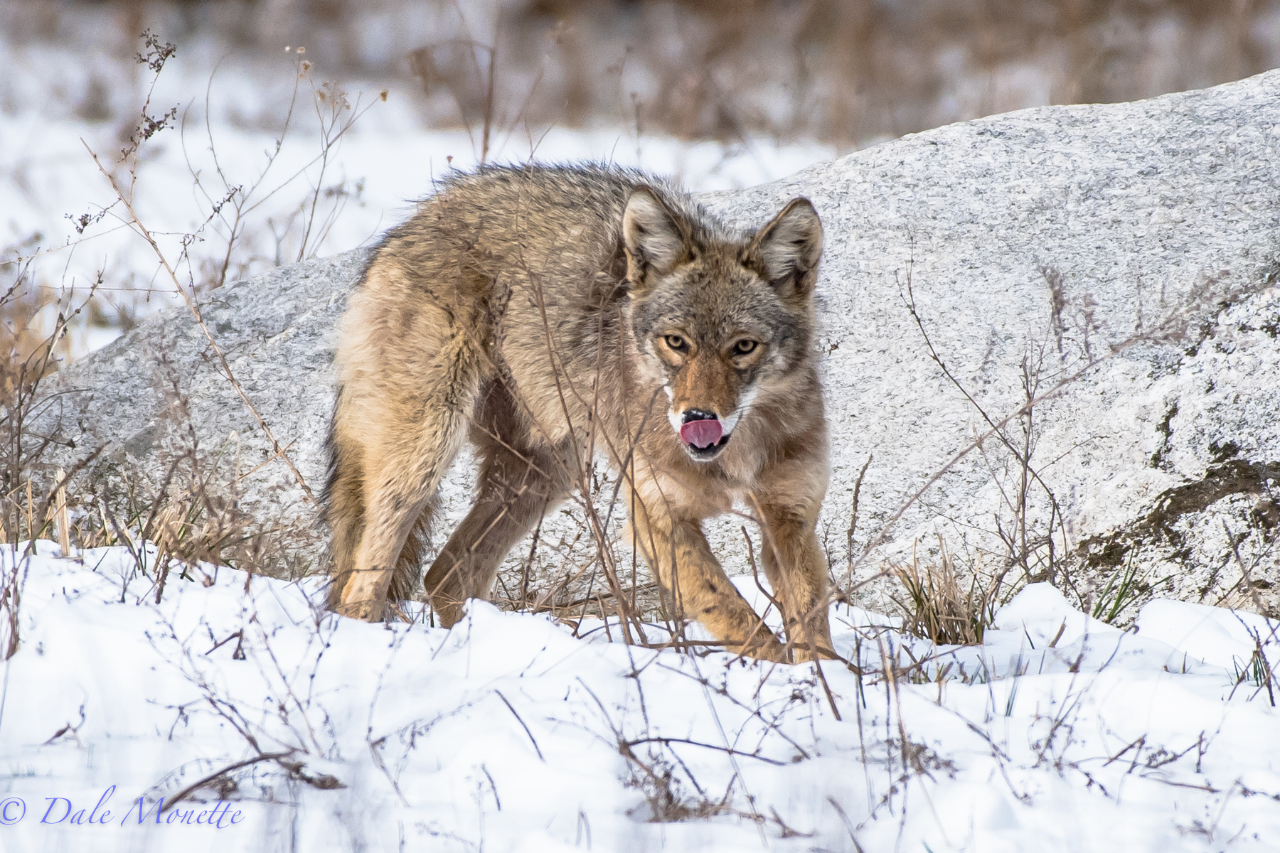 Last spring I watched this coyote catch and play with a vole in a big field.  I didnt see this tongue out until after I got home !
