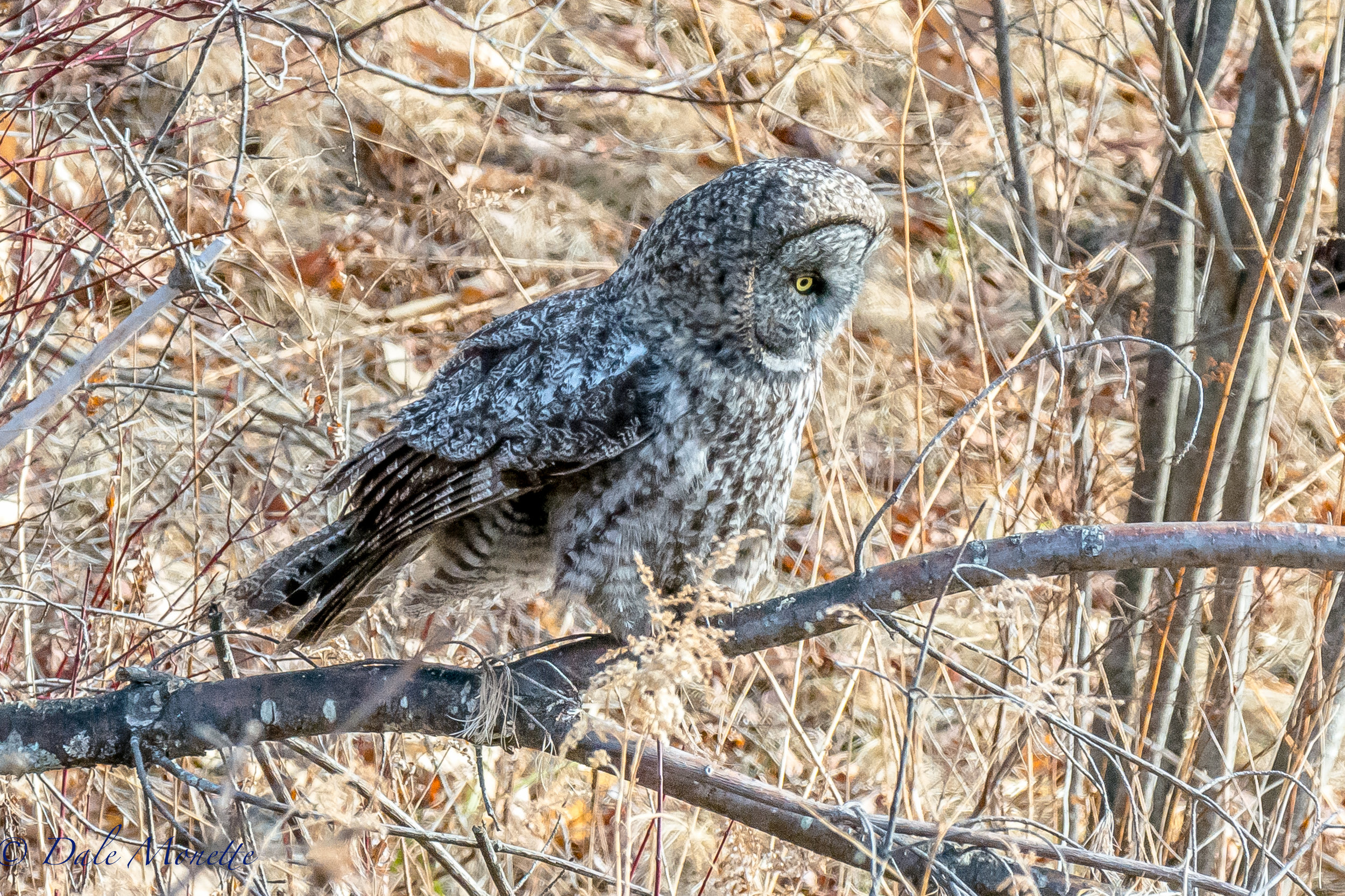 Great gray owls are the larges owls in North America. They are not used to seeing people so they are ver approachable. I got as close as 60 yards away and he didnt even bat an eyelash !  Here's where a telephoto lens came in great!