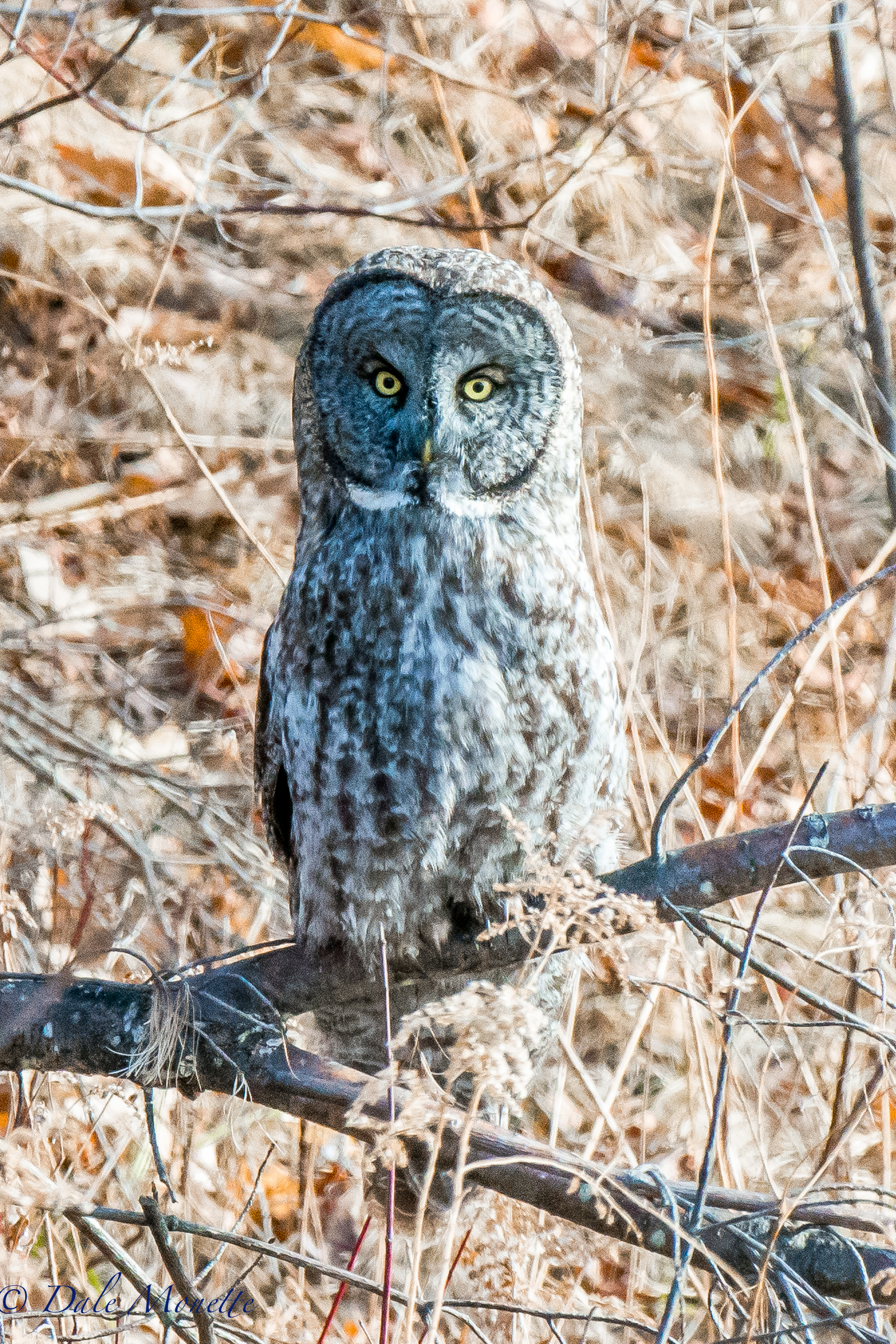 Today I drove 2 hours north to see this rare visitor from the great white north. A gray gray owl.  These guys very rarely get out to these parts and when they do all of the bird watchers come from all over the place.  I was lucky enough to find it early  as when I left there were 30 people there !