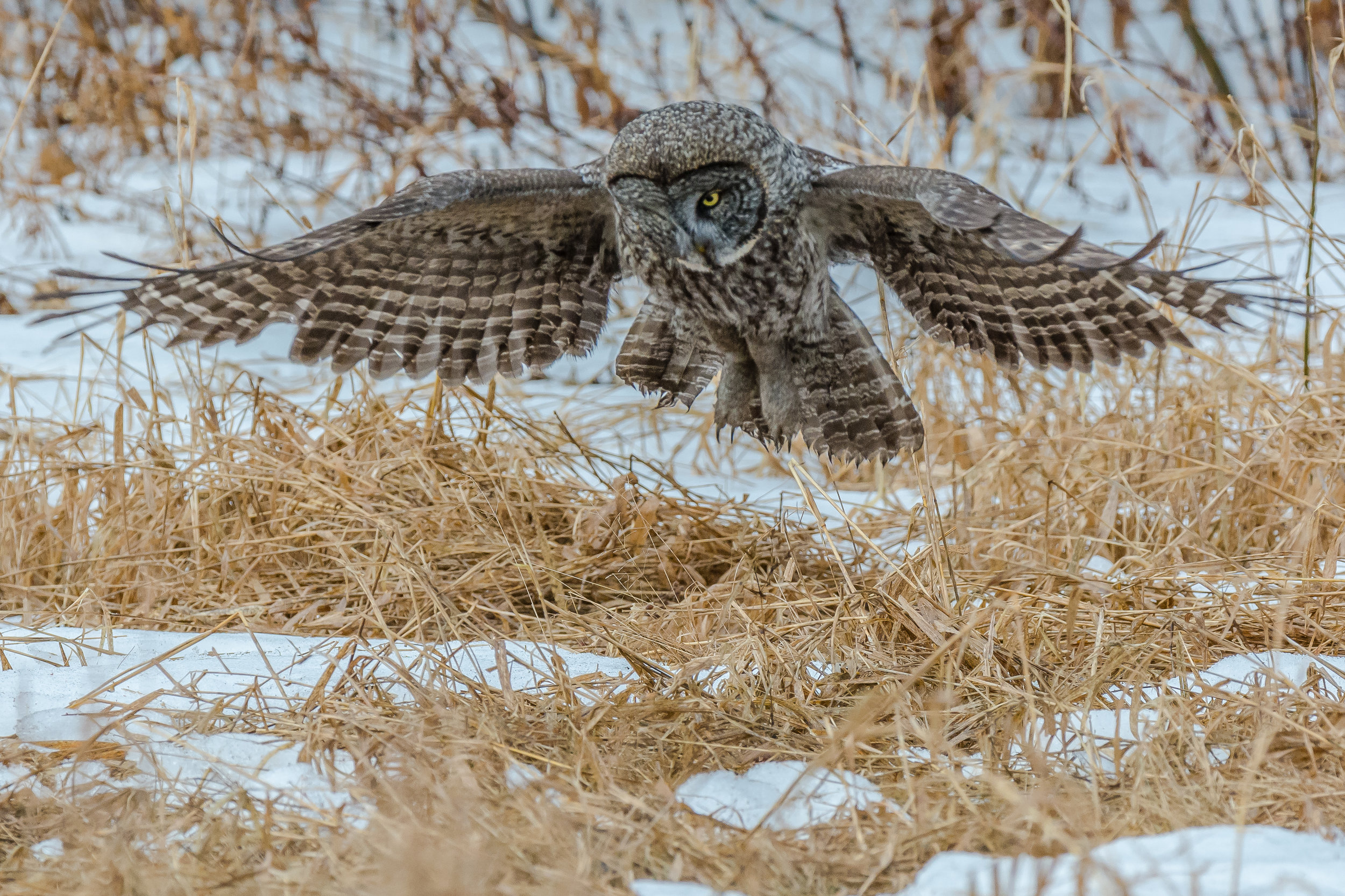 Incoming  !!   I drove back north to see the great gray owl again today,  he did not disappoint !!