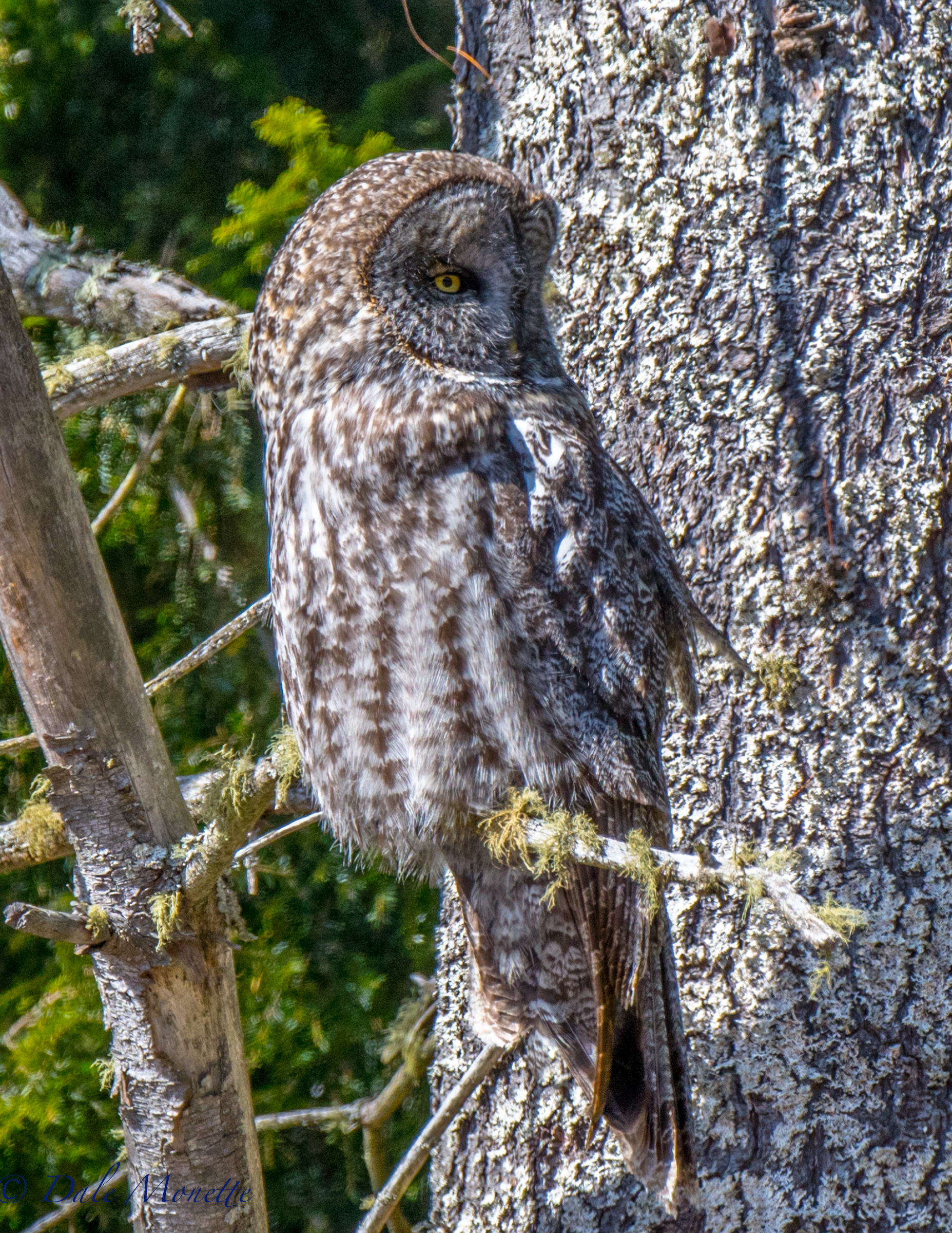 I took a ride north today to see if the great gray owl was still hanging in there.  It is !  It's always fun to see it but today it was 25 feet up in a pine tree, 1/2 mile north of where he has been hanging out.  3/13/17