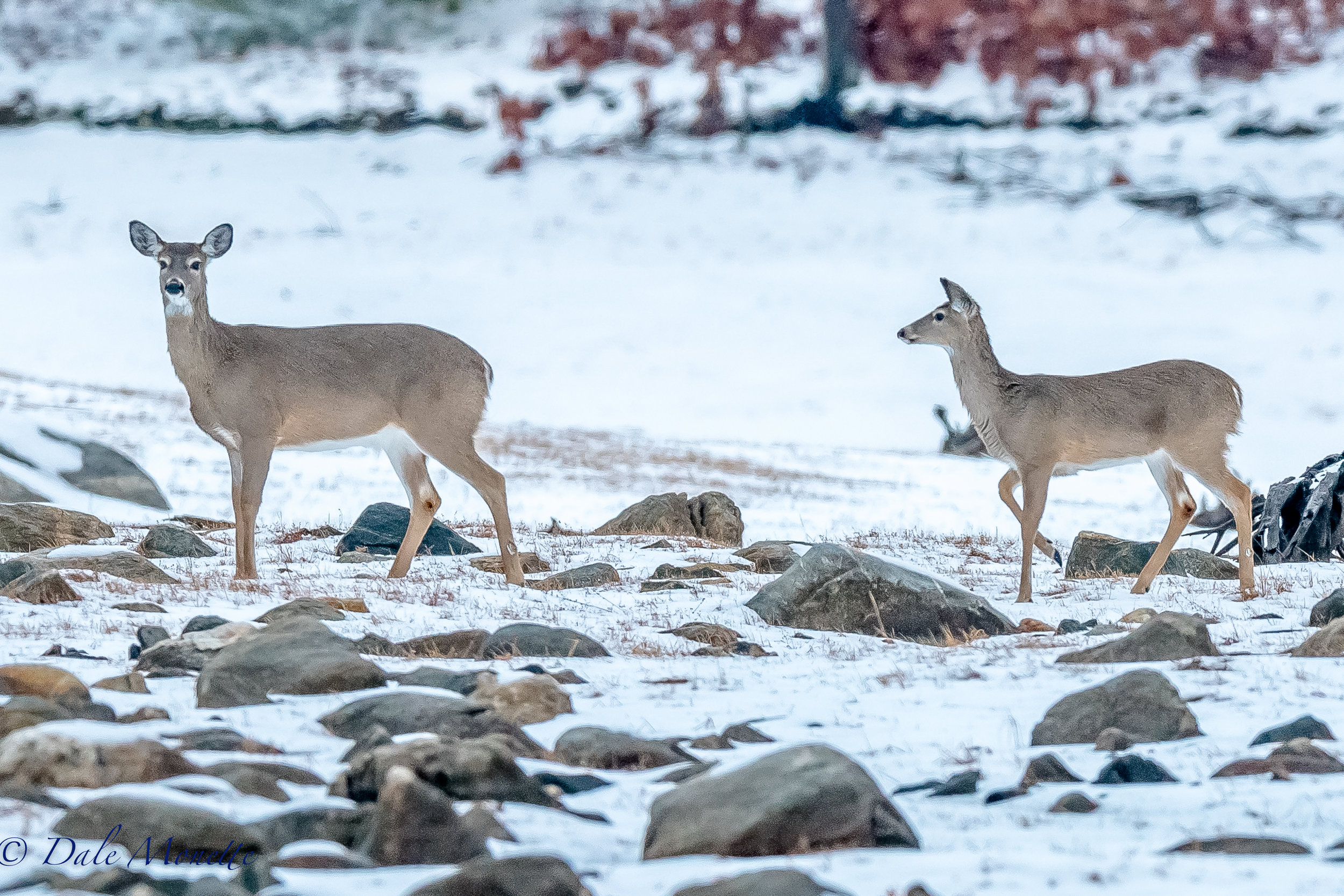 Five white-tailed deer walked out in front of me this morning at 6:30AM on my way into Quabbin. It was a pleasant surprise. I just stood there and snapped a few pictures. They spotted me but didnt leave and just kept moseying along and headed into the woods. 4/2/17