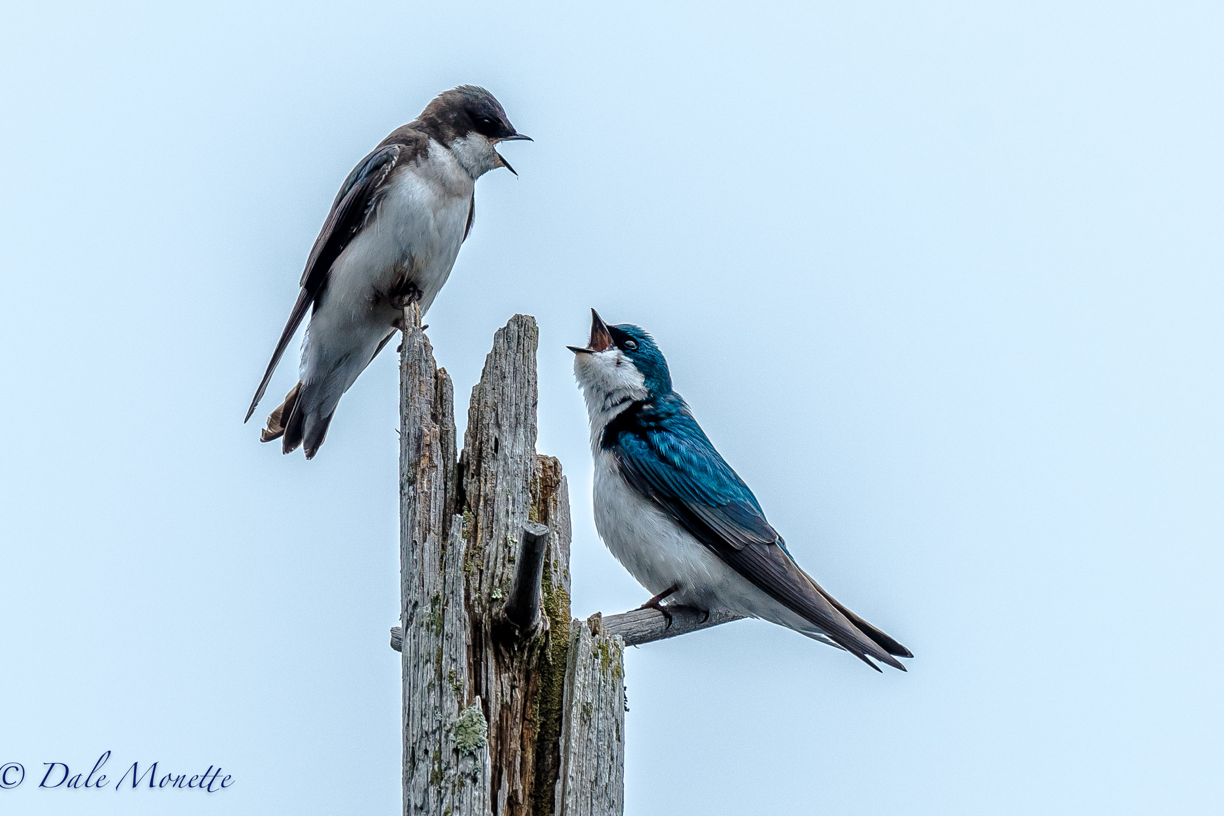 A pair of tree swallow have a discussion about their next nest, and how many kids they want !  4/27/17