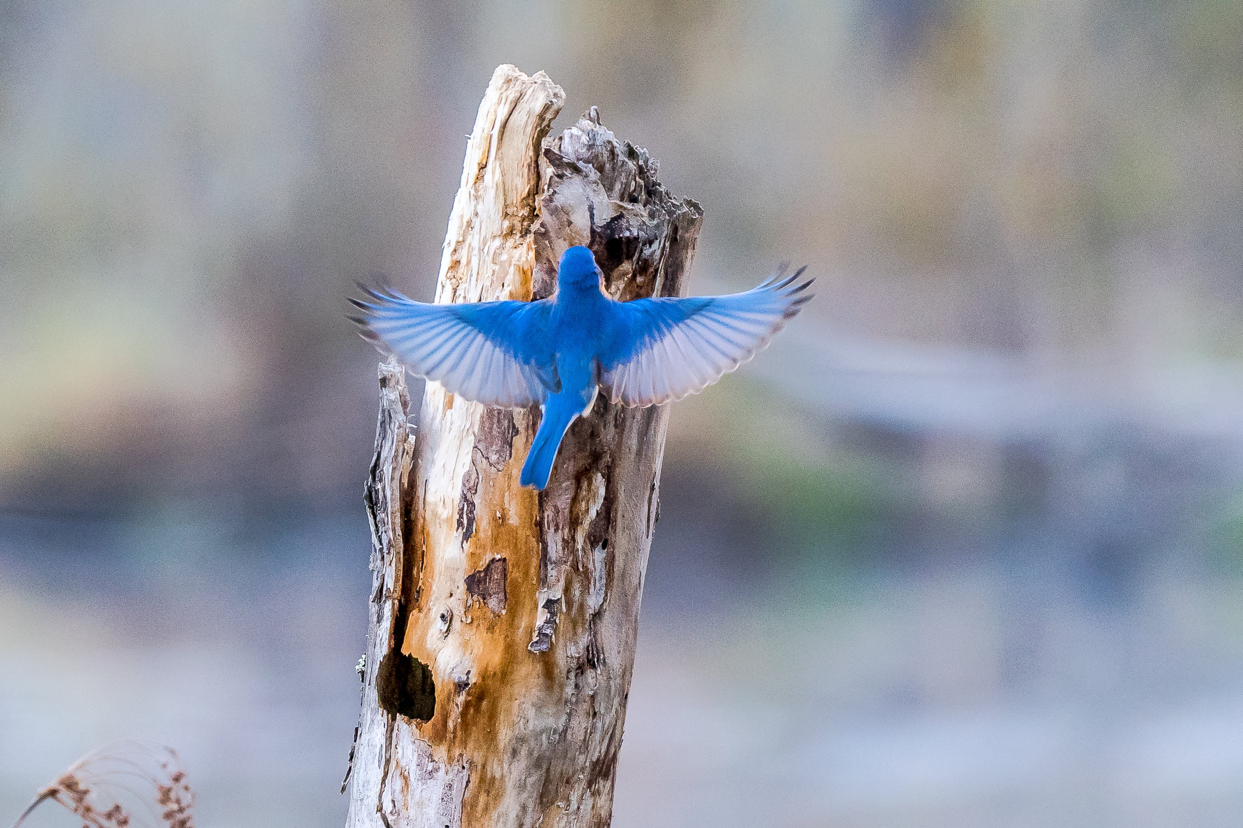 A male bluebird checks out a tree swallows nest in a beaver pond early this morning.  5/5/17