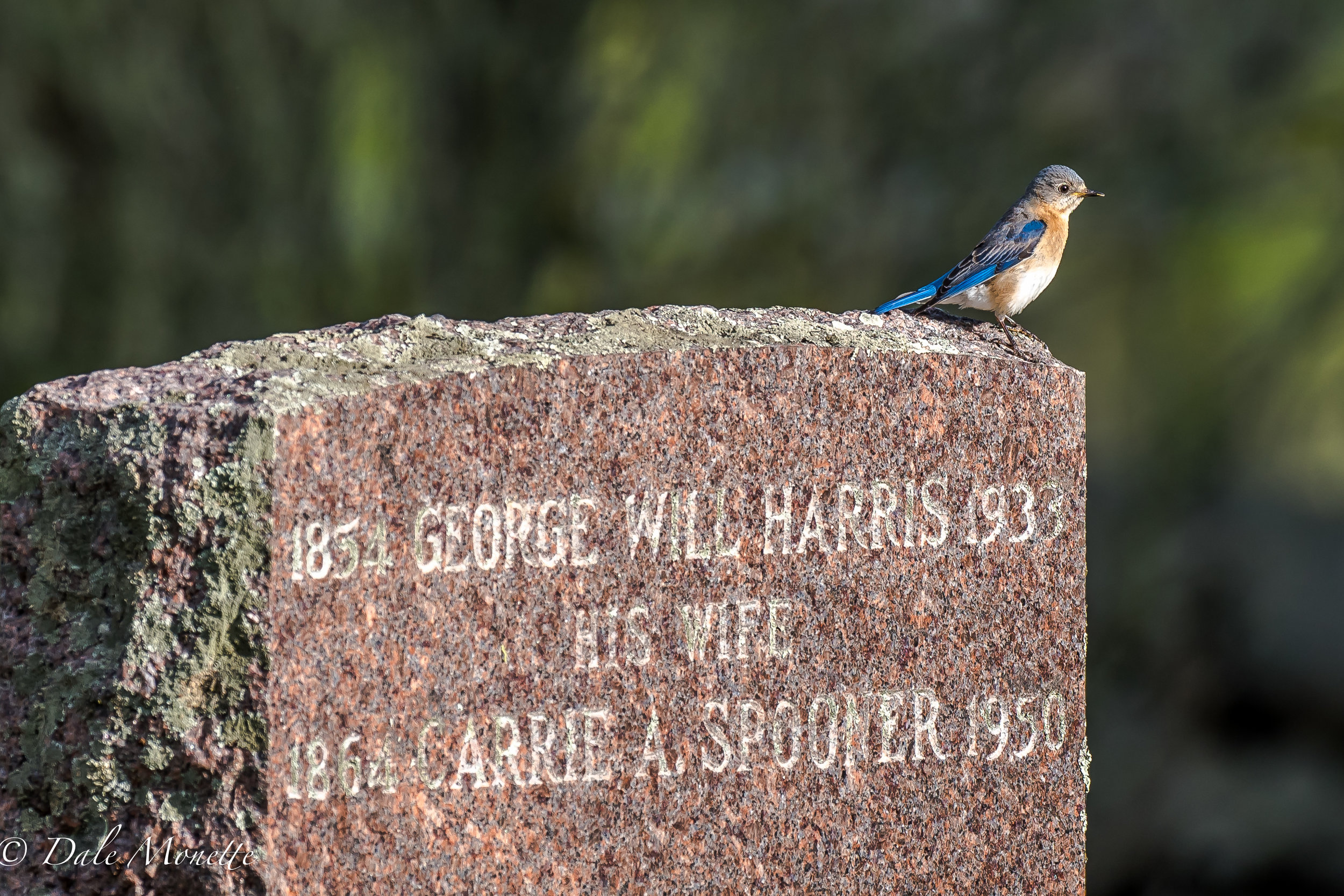 I found a female bluebird sitting on my great grand parents grave stone during my visit there this morning.  I also have a picture with a male in the same place.  5/20/17