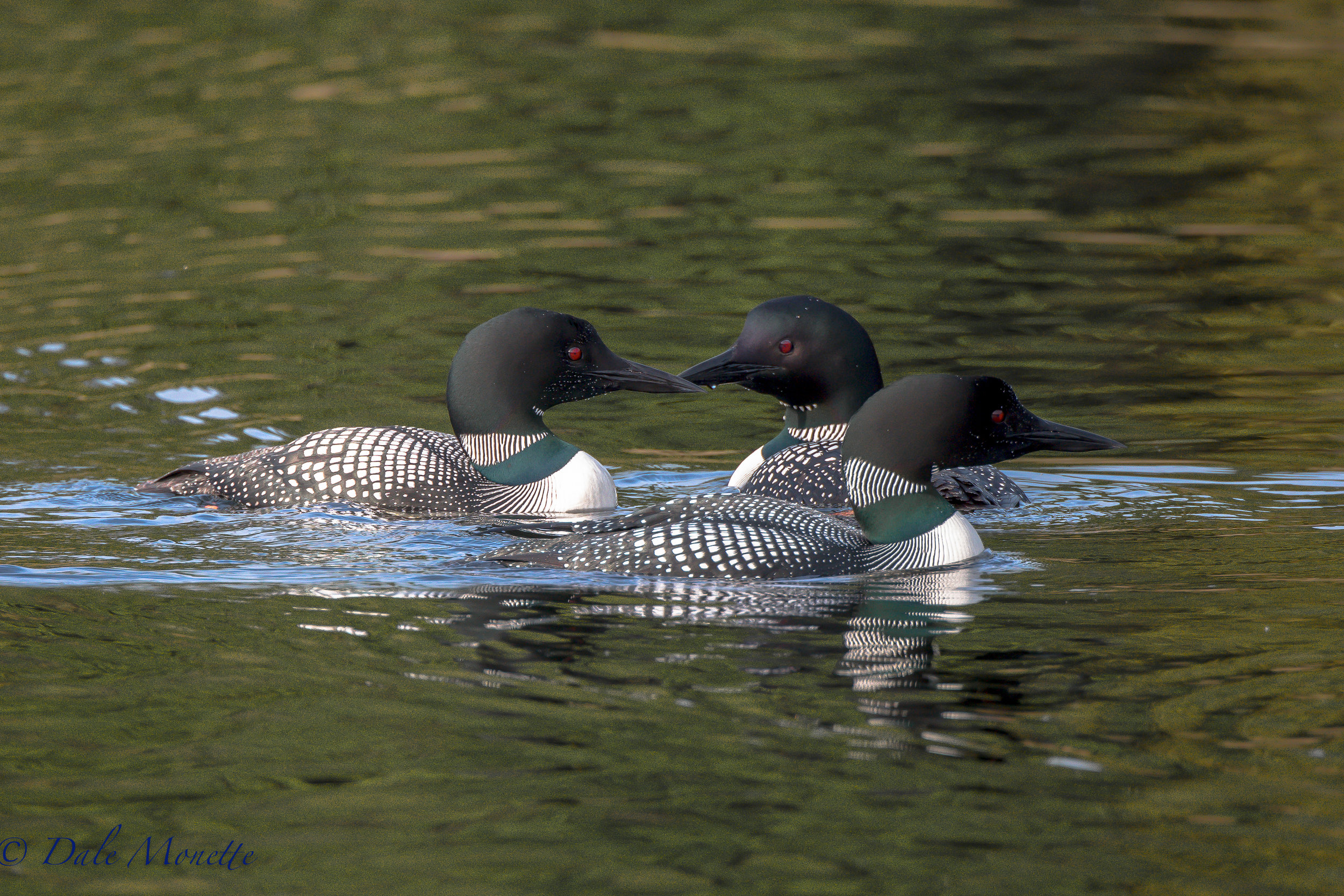 The second week of loon surveys found these three loons just hanging out and fishing together on a warm, calm, late spring afternoon. I love these birds!