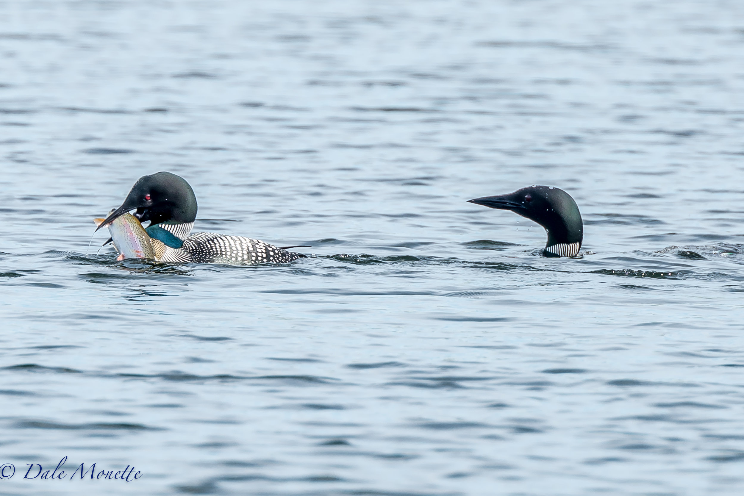 Another pair of common loons fishing on another part of Quabbin and the female struck it rich! A beautiful rainbow trout that went down the hatch all at once !