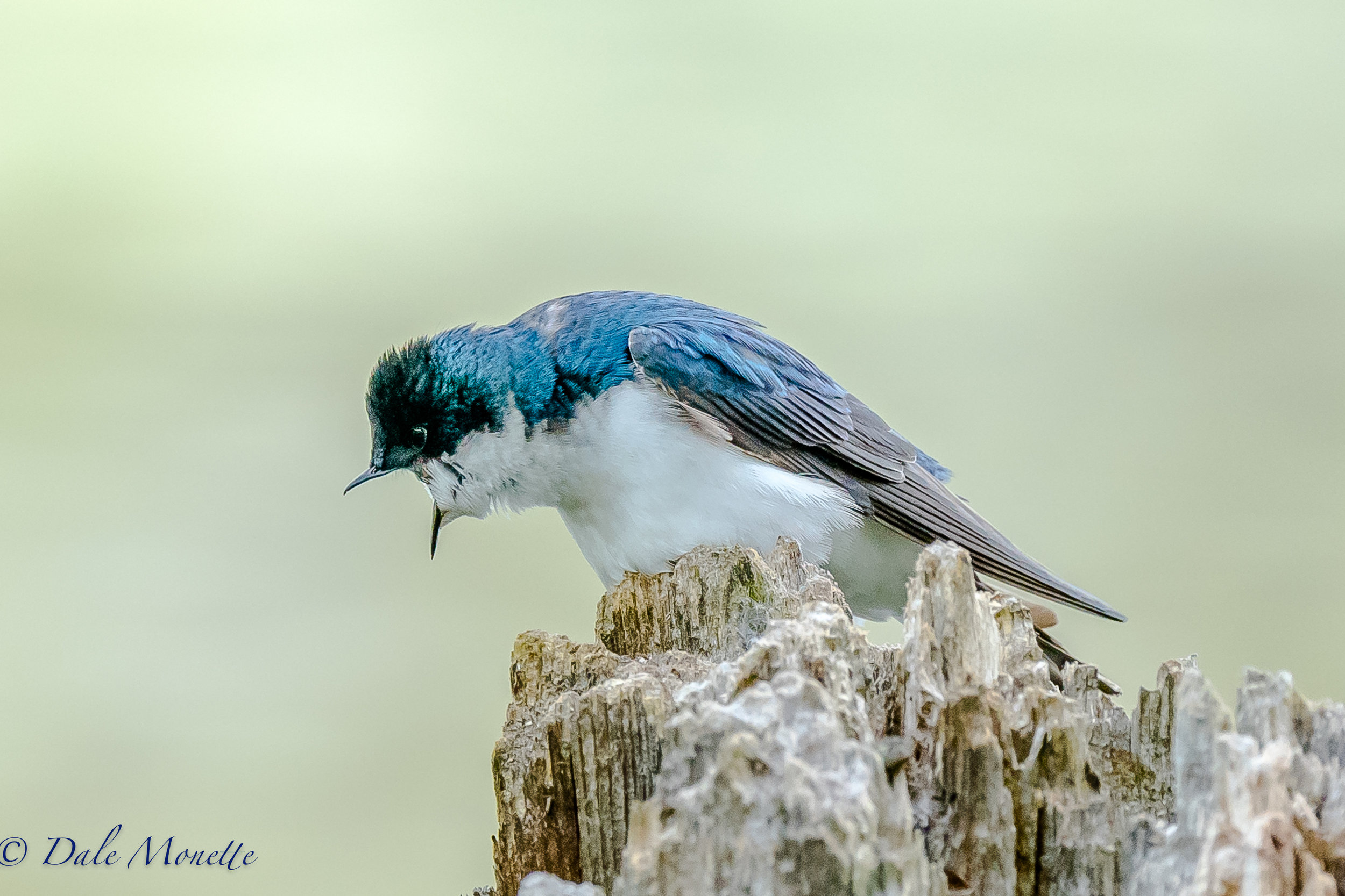 A tree swallow in barking orders at its mate that just went into the nest in the hole just below him in this dead stump pond side.  5/24/16