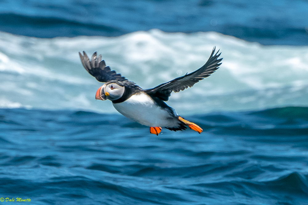 Puffin day for me !  Bird Island tour out of St. Ann's Bay to Bird Islands in the Cabot Strait. Many nesting puffins and other sea birds, including great blue herons !!  6/8/17