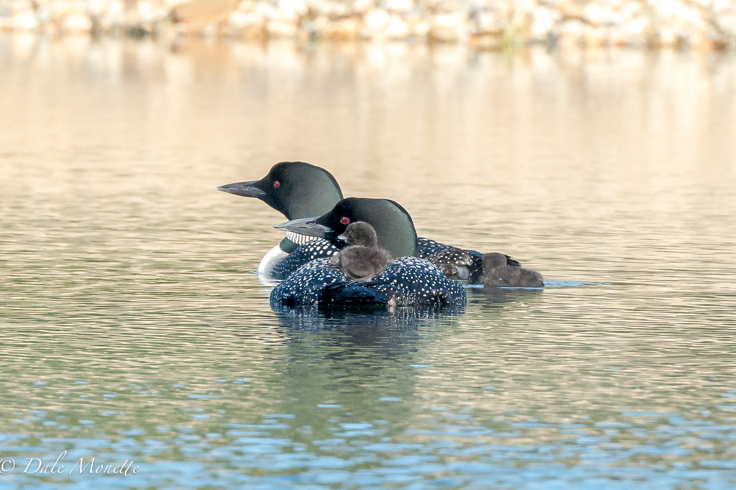 A family of 2 adult loons with their 4 day old babies start the 2017 summer off with great weather. Lets hope they make it through the summer until they can fly in the fall. 6/28/17