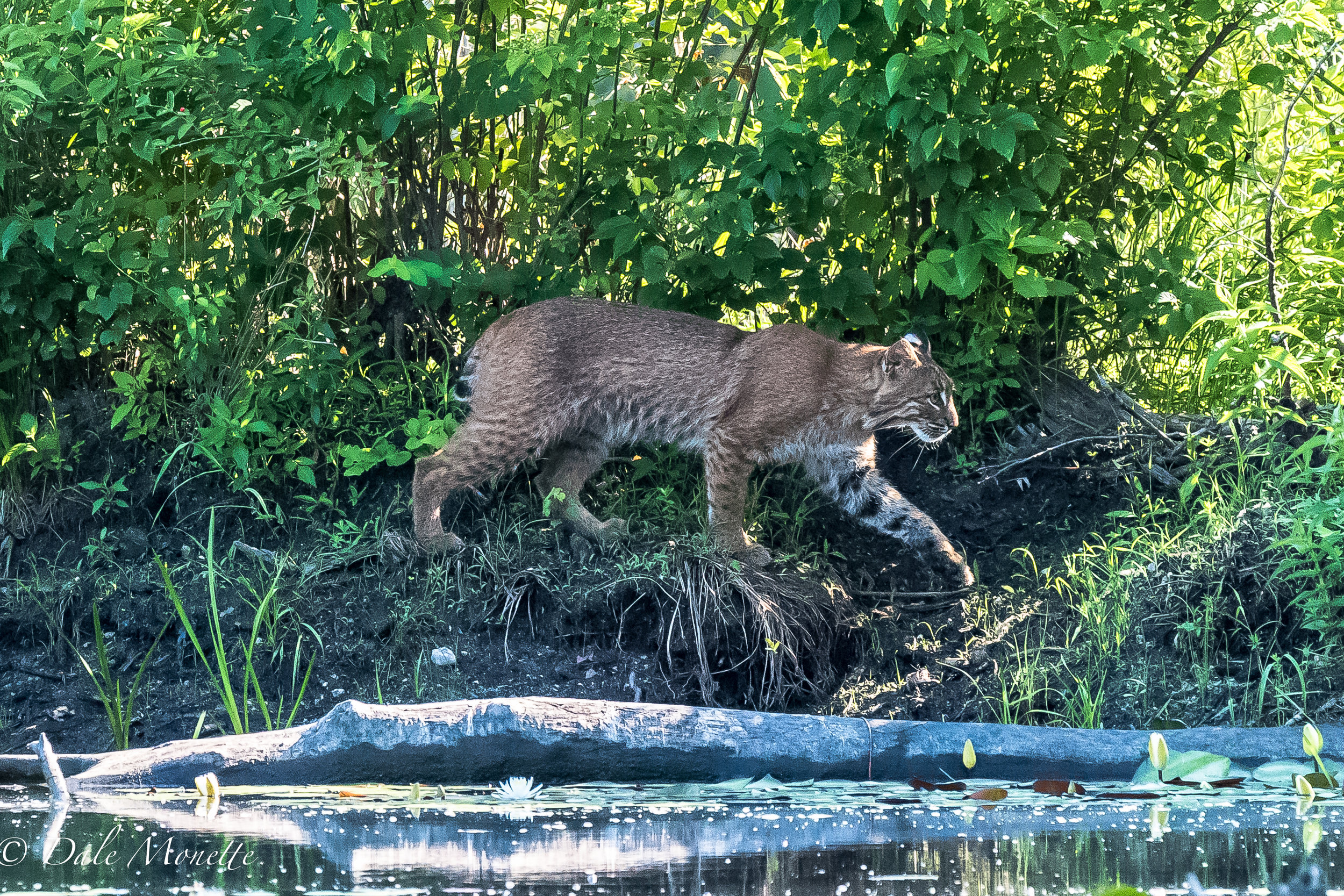 A hungry bobcat came creeping along the edge of an old beaver dam as I was watching it for any critter that may be around. It took me by surprise to say the least !   What a beautiful animal  7/16/17
