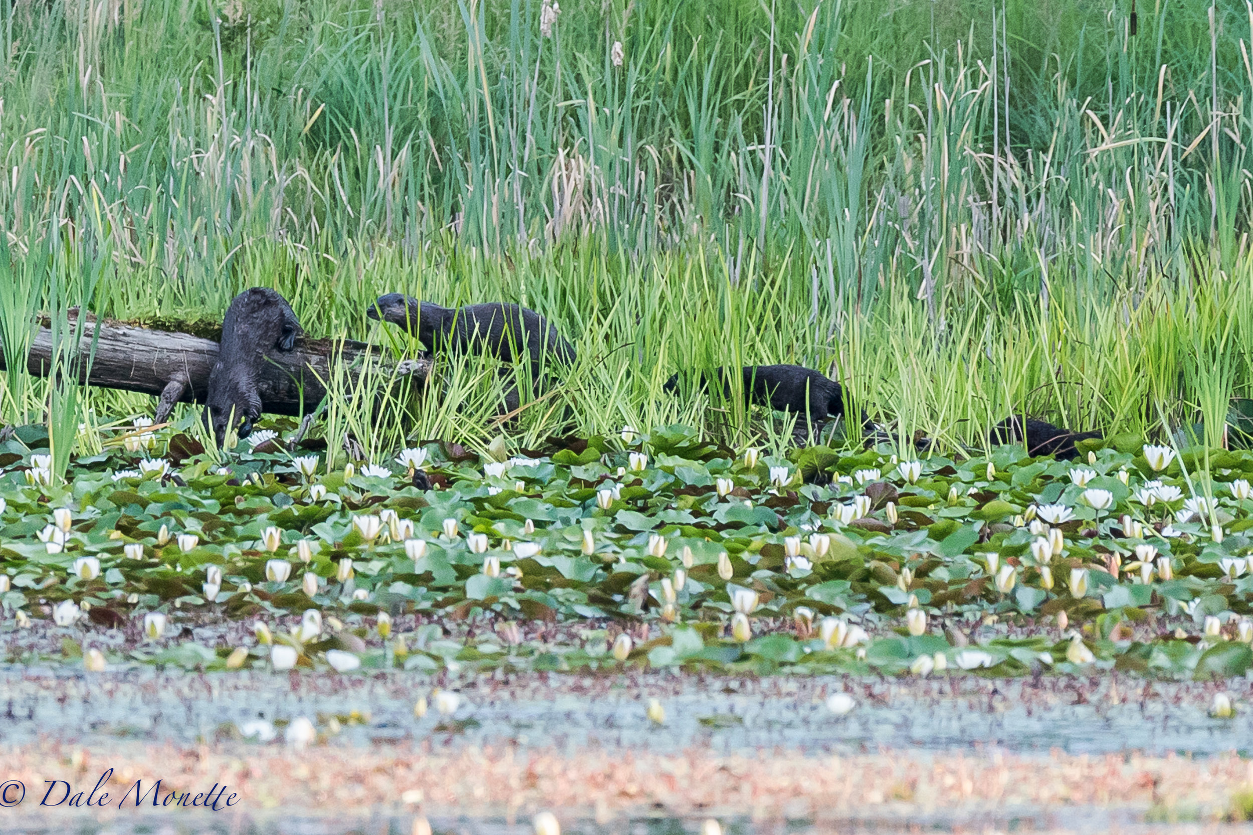 (Now kids, this is how we jump off a log) I found this family of otters this morning exploring the beaver pond they were learning to fish in. Northern river otters always crack me up watching them and kits are even funnier ! 7/23/27