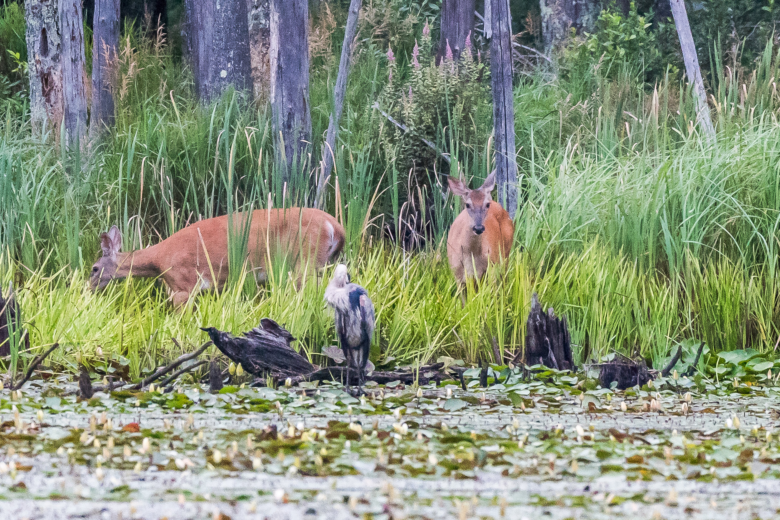 A few years ago in this same pond I was taking a picture of a heron and an otter popped up. Today in this same pond I had my sights on another great blue heron along the back shore of the pond and a pair of white-tailed does popped out of the woods ! The heron kept right on preening... 7/29/17