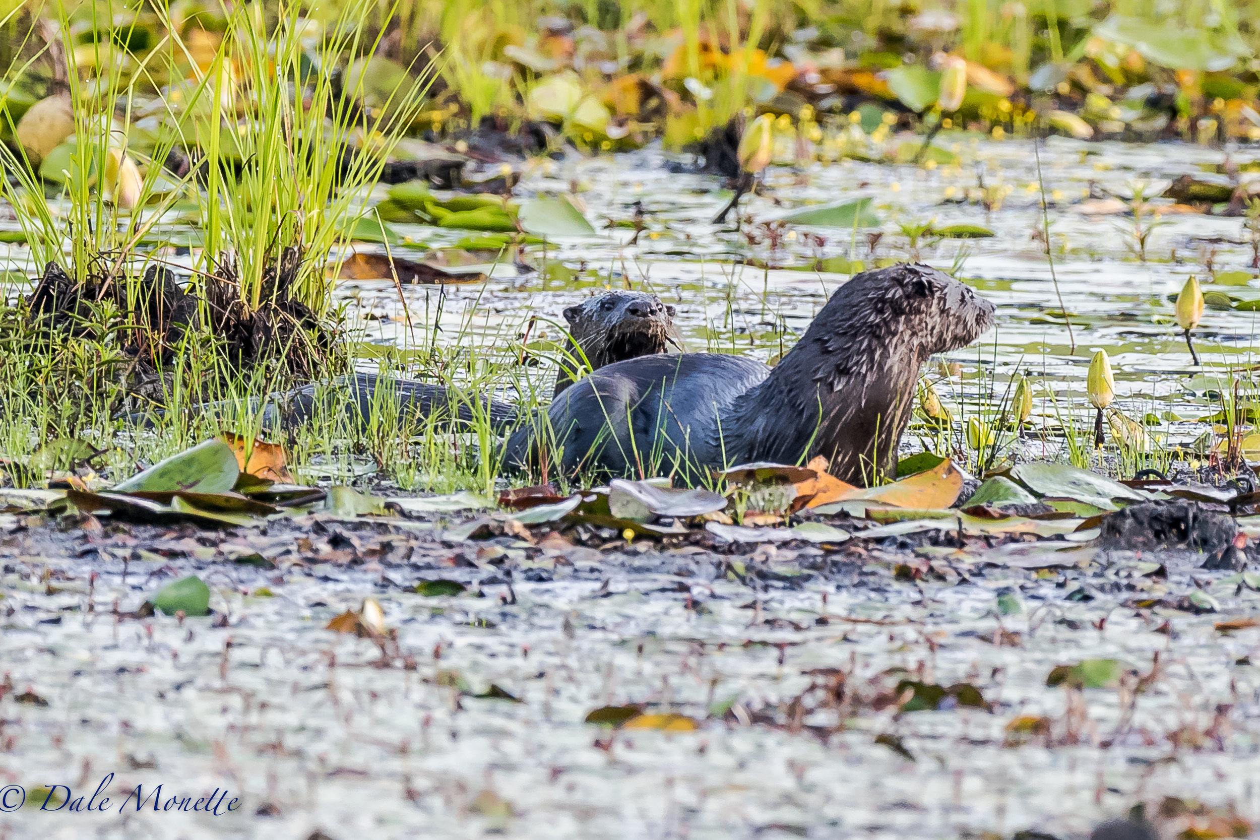 """This morning I played another game of """"hide and seek"""" with an adult otter and one of its young ones. The covered lots of ground in the pond. Finally they came in view long enough for a couple of shots. You can see the young one peeking up over the adults back. 8/2/17"""