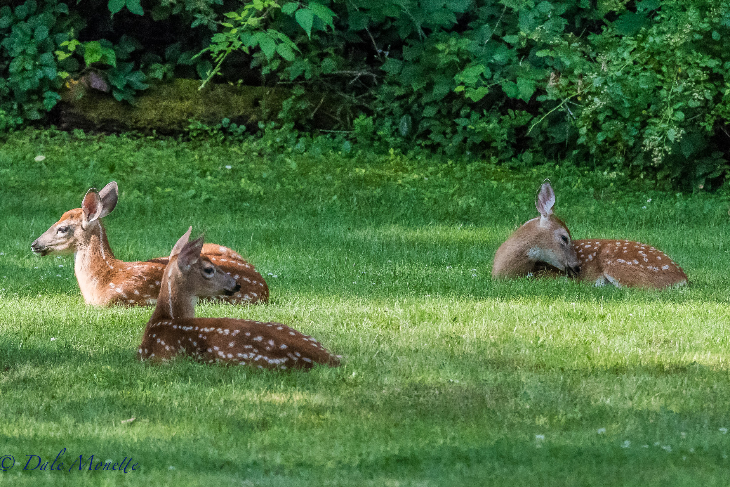 I spotted these 3 fawns all loafing in the sum this morning in a backyard in Athol. They were acting just like tame deer until a dog came down the road ! 8/6/17