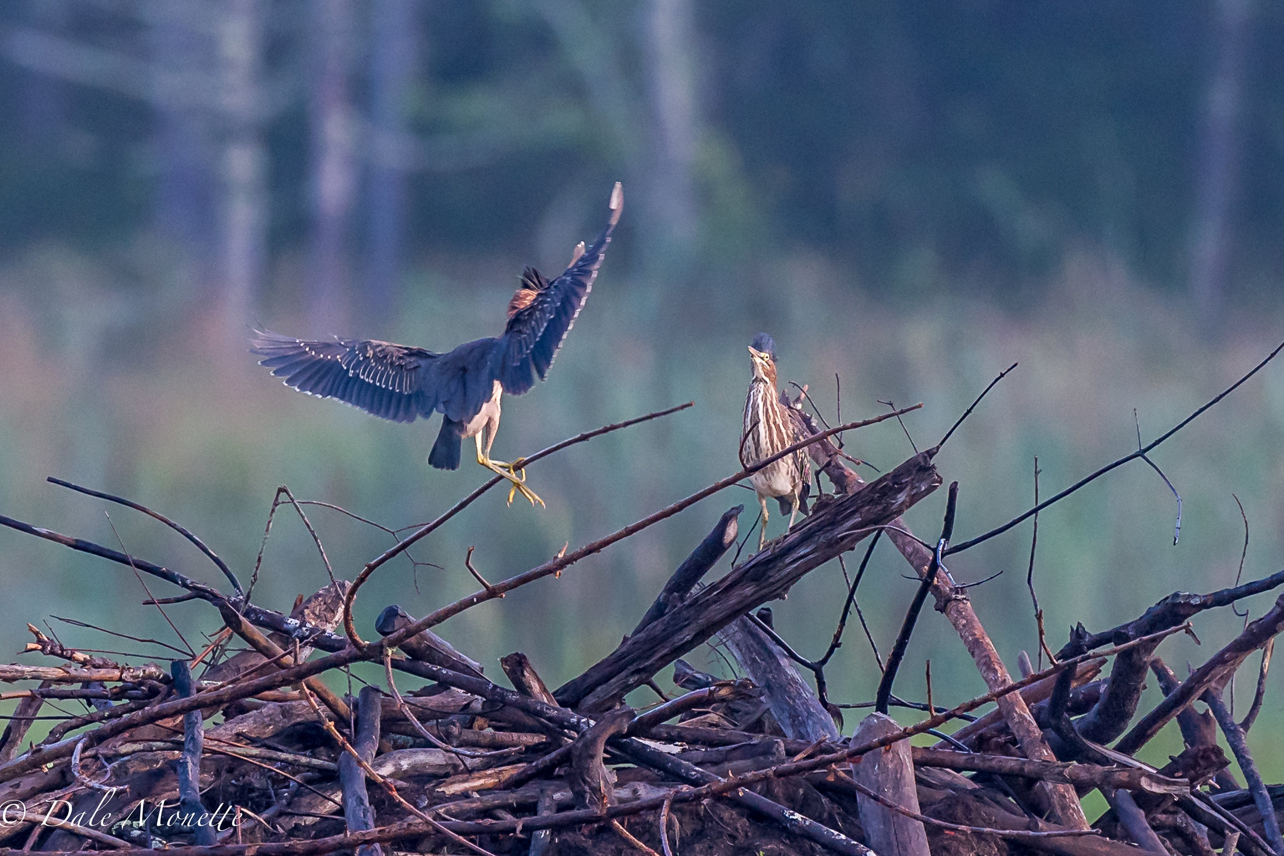 Two juvenile green herons were chasing each other around the swamp this morning. I love to watch these birds fish. 7/13/17
