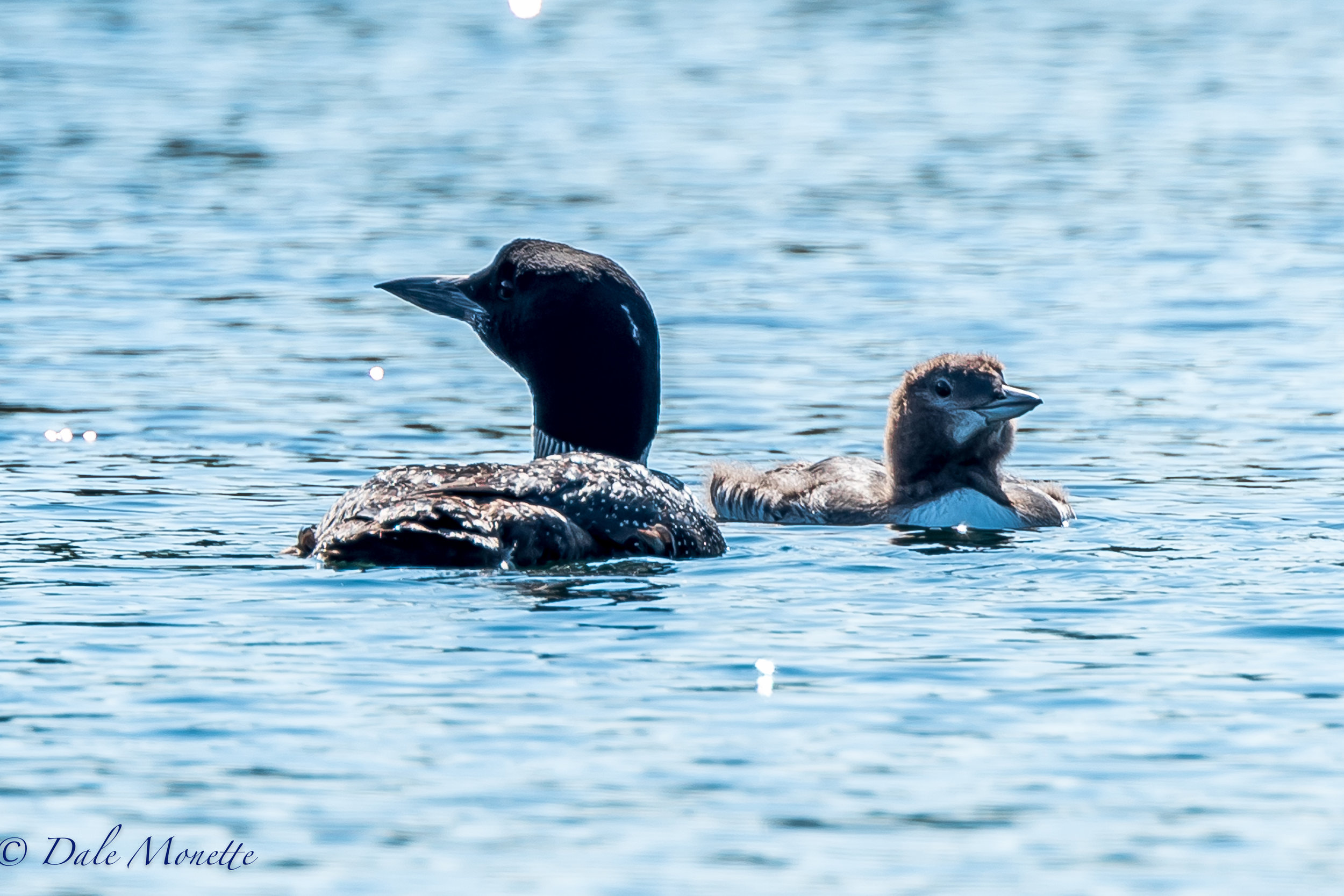 Here is Whitey on September 13th. He and his mate were about 1/2 mile apart and he had one chick. The other chick disappeared sometime in the last 2 weeks. As we drove away from these 2 loons an eagle flew over them and landed in a birch tree so it could watch them closer. 9/13/17