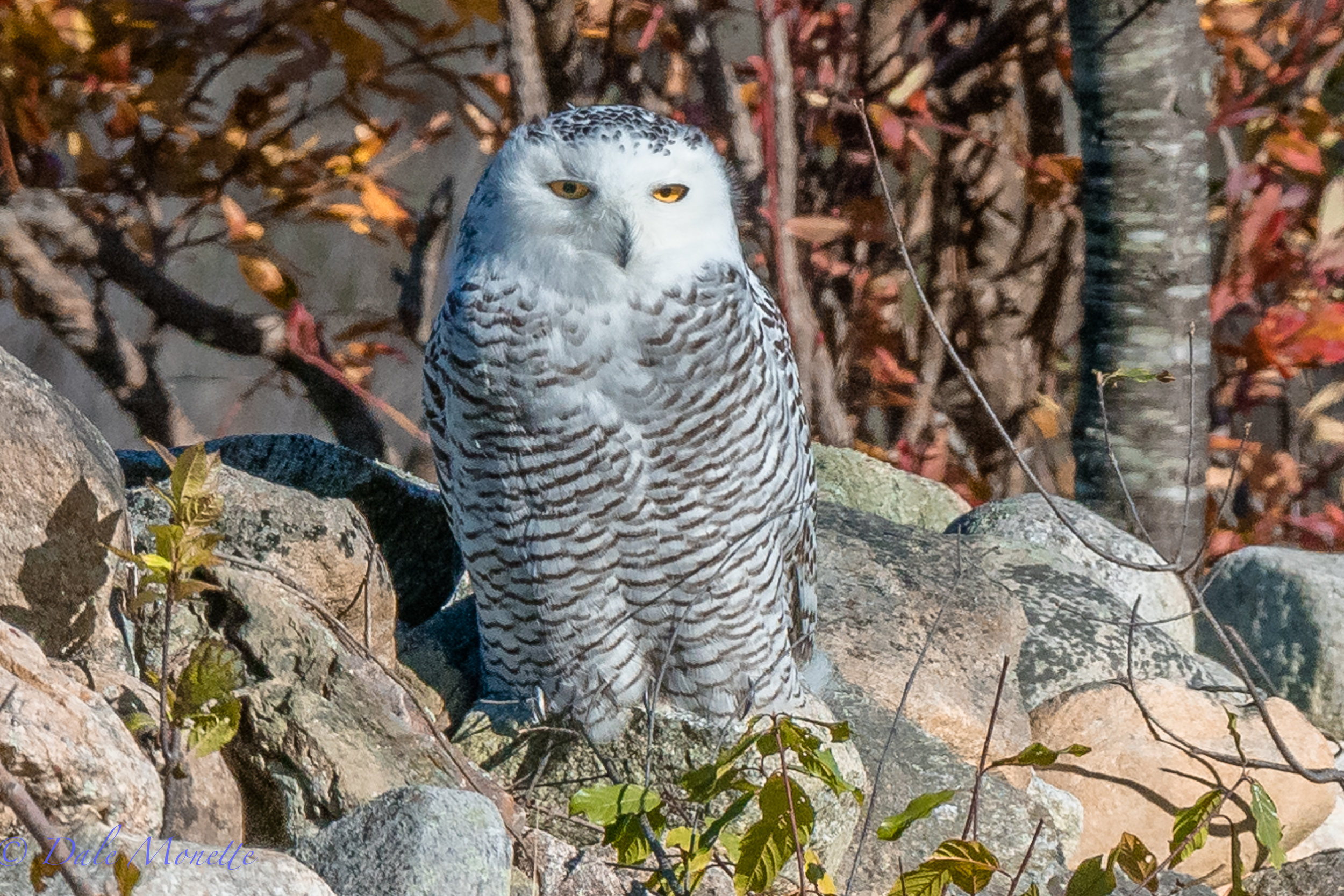 WOW,  a snowy owl, first of the year!  2 miles from my house !!   11/10/17