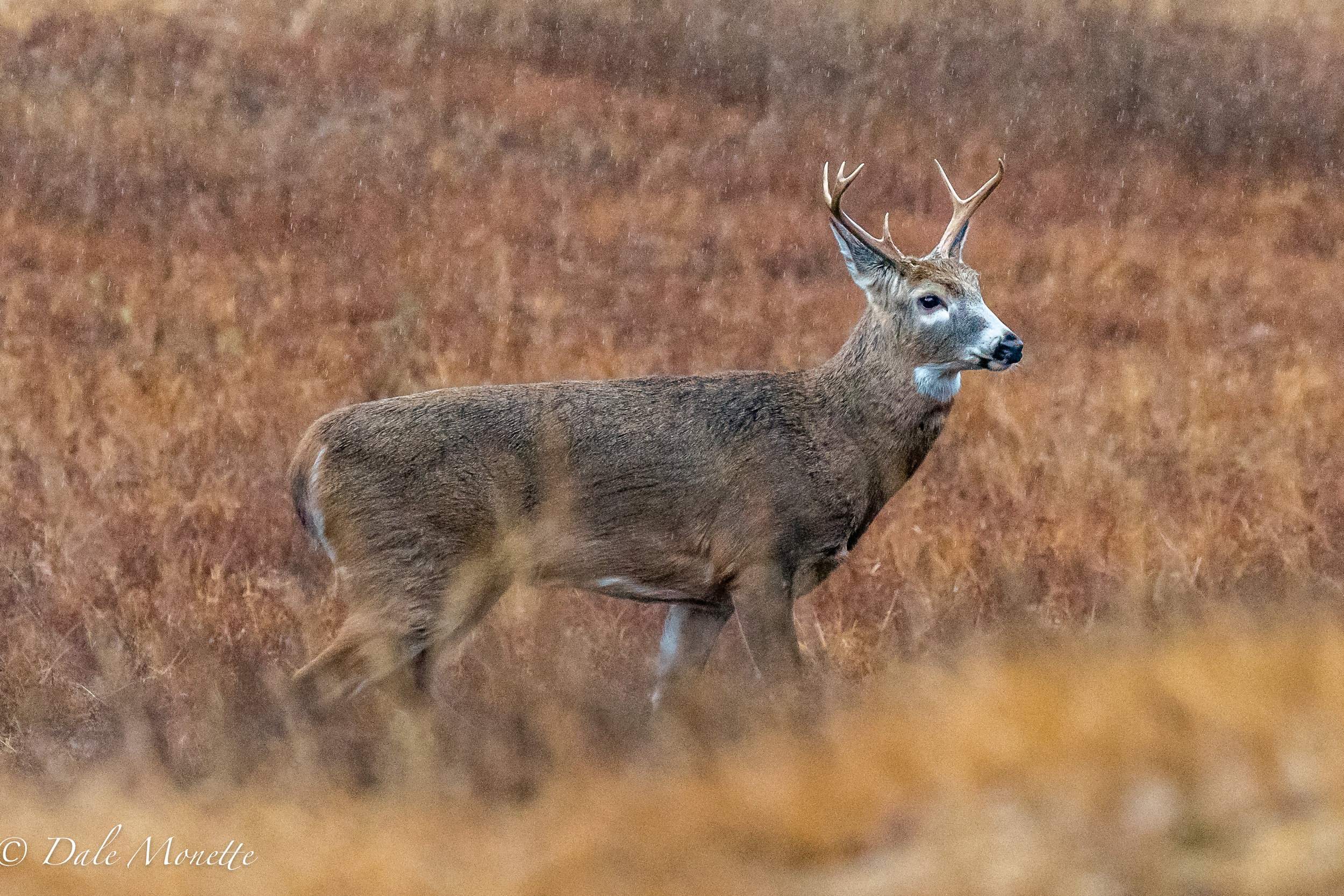 Last week I caught this 1.5 year old white-tailed buck looking for love in the rain ! :)  He was oblivious to me and strolled along with his nose in the air sniffing away to beat the band !