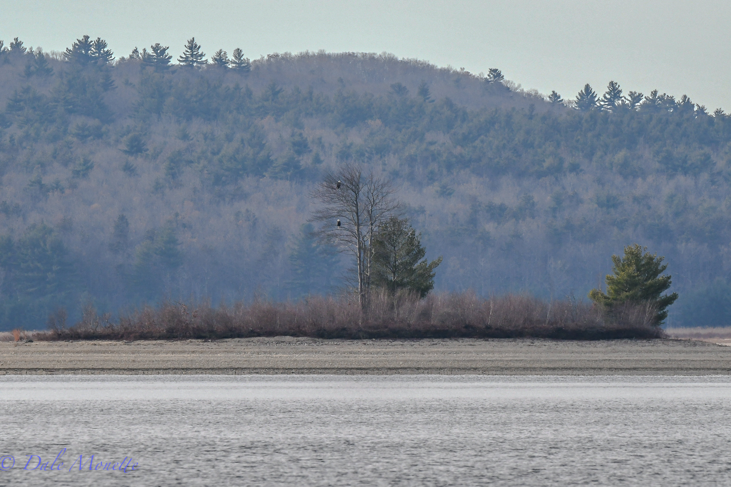 A mated pair of bald eagles sit together on Lone Tree Island in the Quabbin Reservoir, not far from their long time nest and ponder the coming winter and impending ice over that comes with it on the water.....