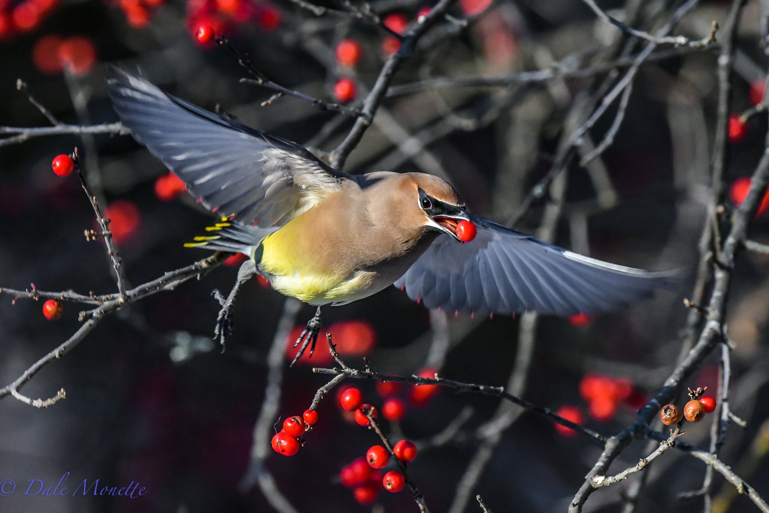 A flock of cedar waxwings have stripped about 10 thousand winter berries from our winter berry bush the last couple of days. Here's one making off a prize!..