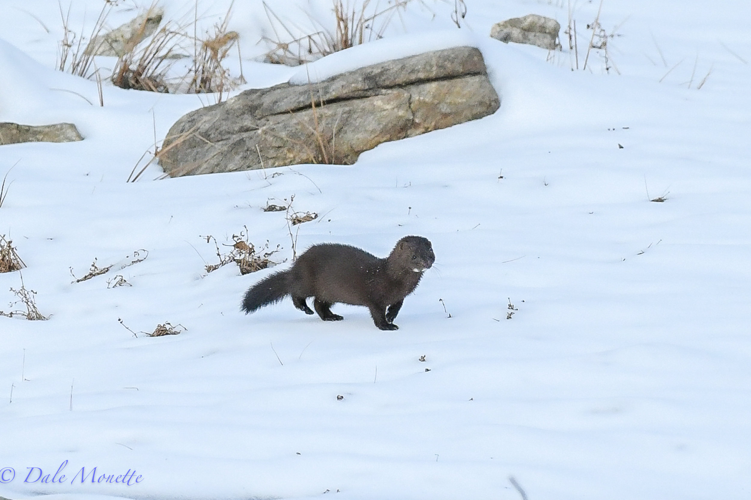 Here is another mink image.  They sure are alert and fast creatures.....