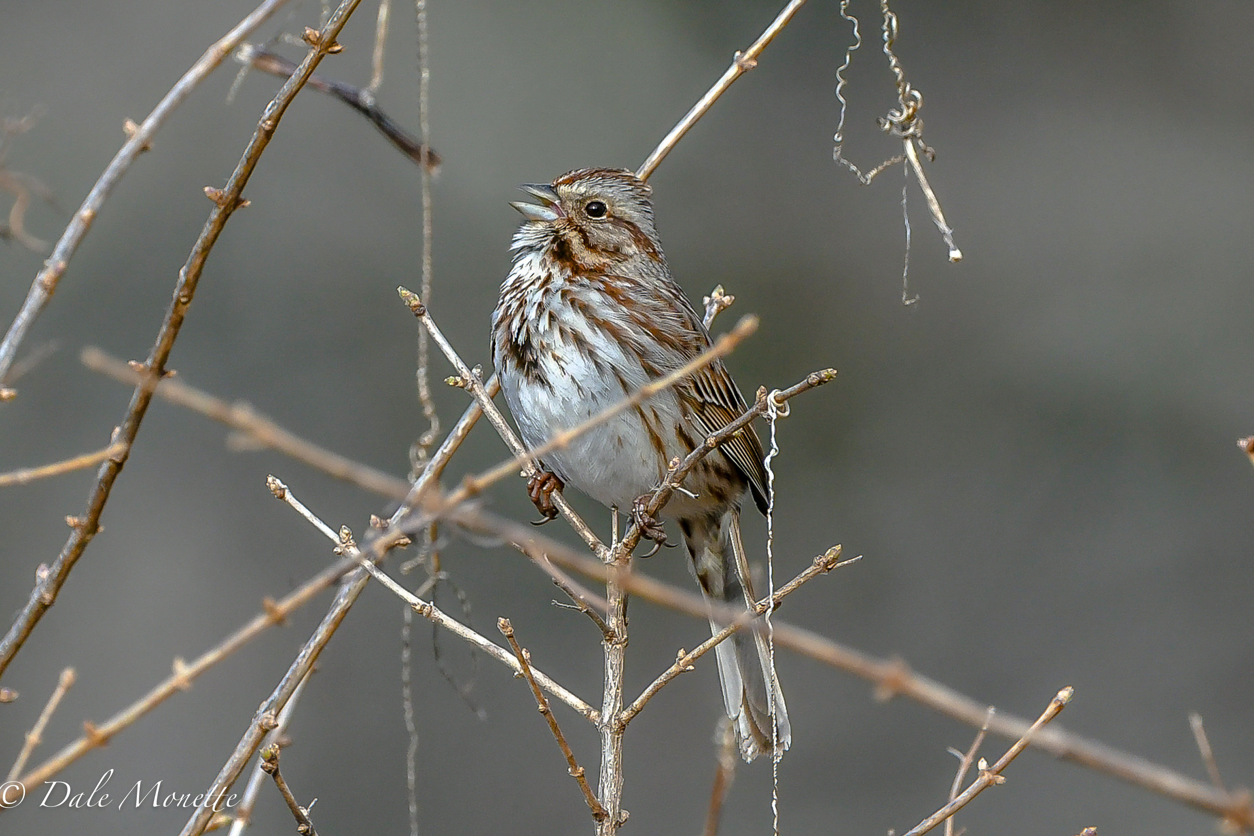 The first singing song sparrow i have seen this year was singing near a beaver pond..spring is here!