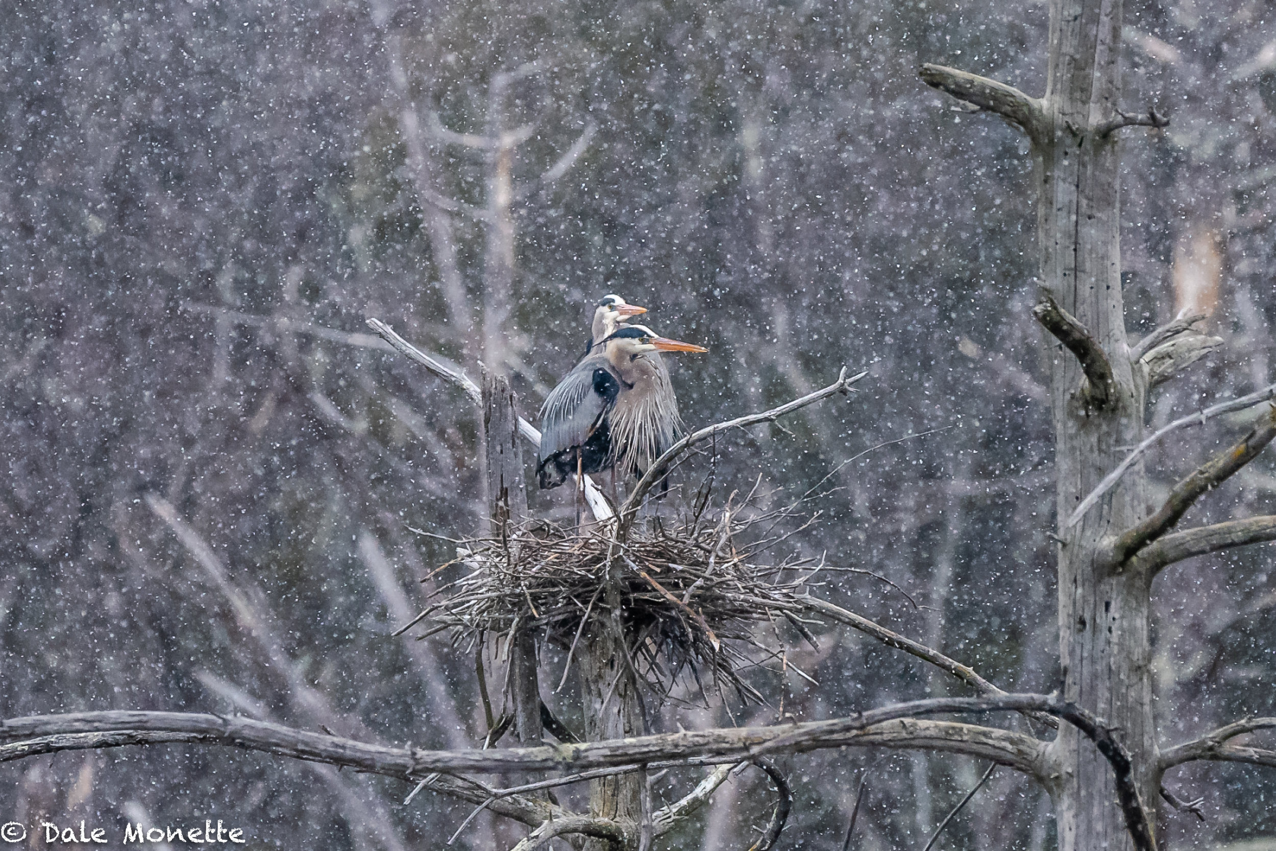 The same herons wondering why they came north so early .