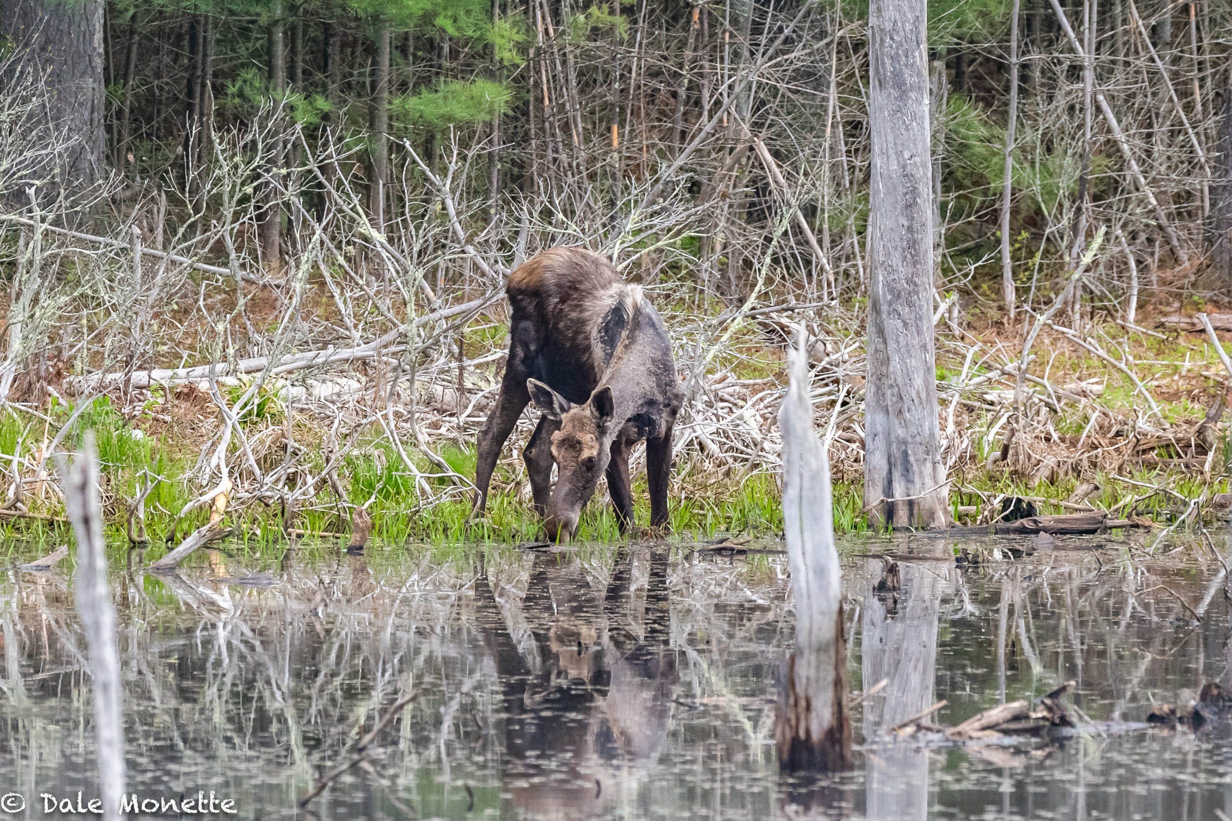 This young bull moose will never sneak up on anyone!  I heard him slopping 10 minutes before I saw him this morning!  5/10/18