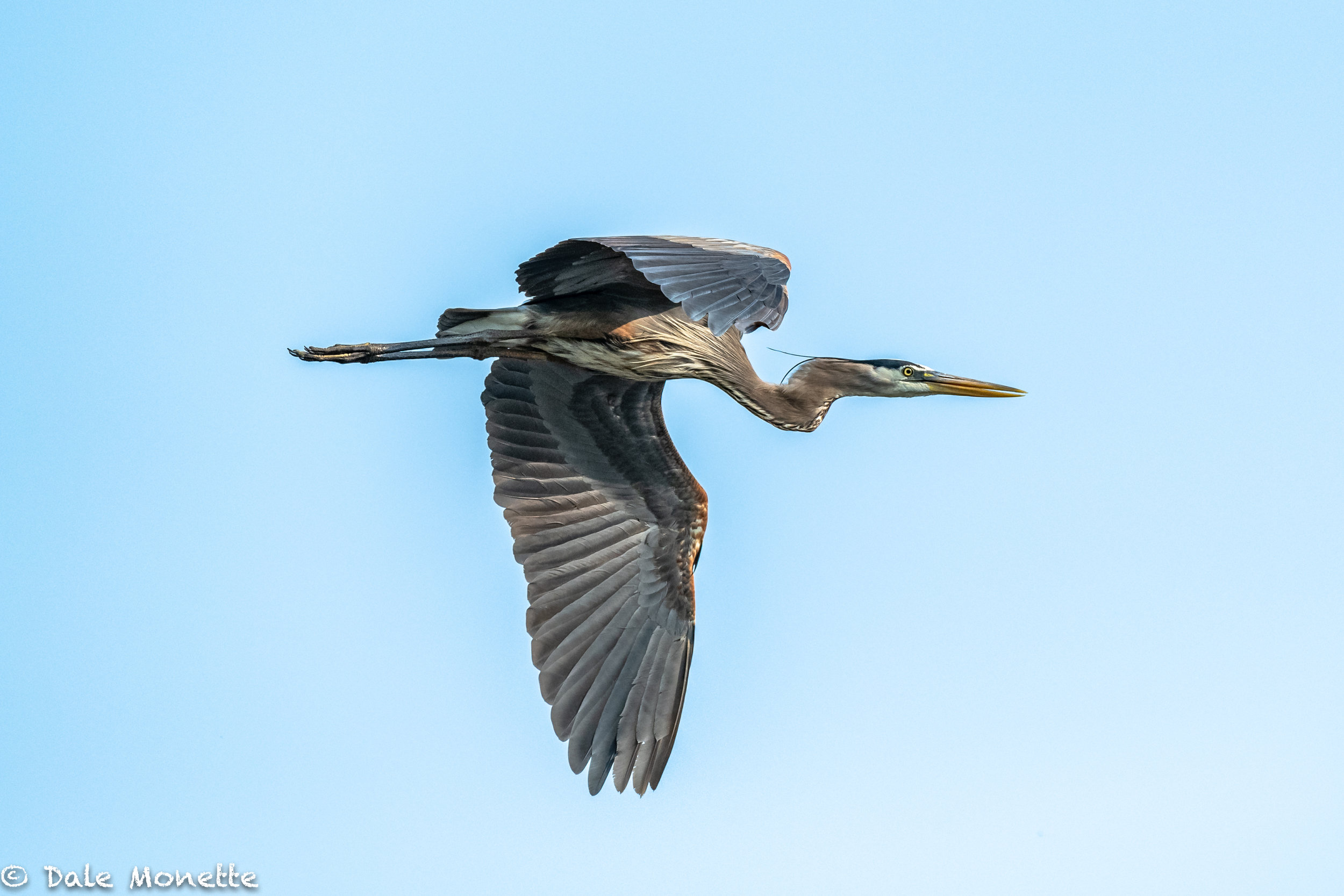 As I was sitting in the woods this morning along a beaver pond, something caught my eye.  I looked up and 2 great blue herons were gliding in for breakfast.