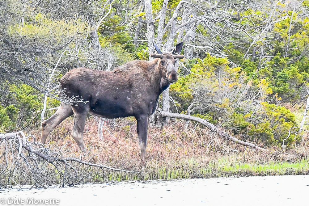 A bull moose checks me out as he watches the family you will see in the next slide.  6/8/18