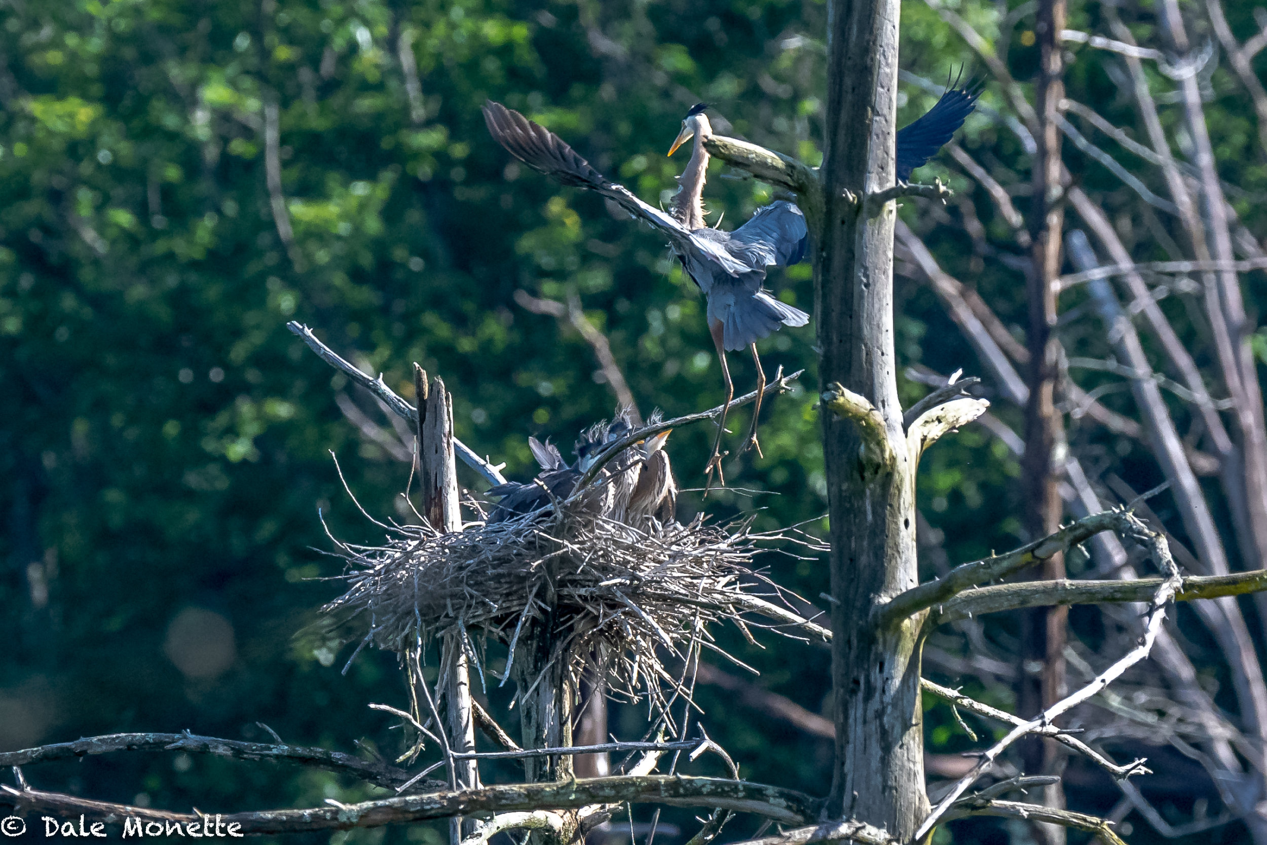 An adult great blue heron drops in with breakfast for the three chicks that are all hunkered down in the nest, (6/18/18)