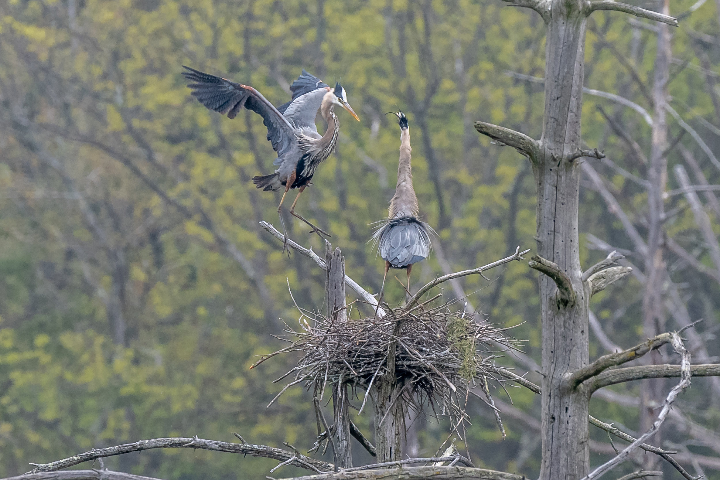 I watched these herons build and take care of three chicks this spring starting when they arrived back in late March. Here they are working on the nest .