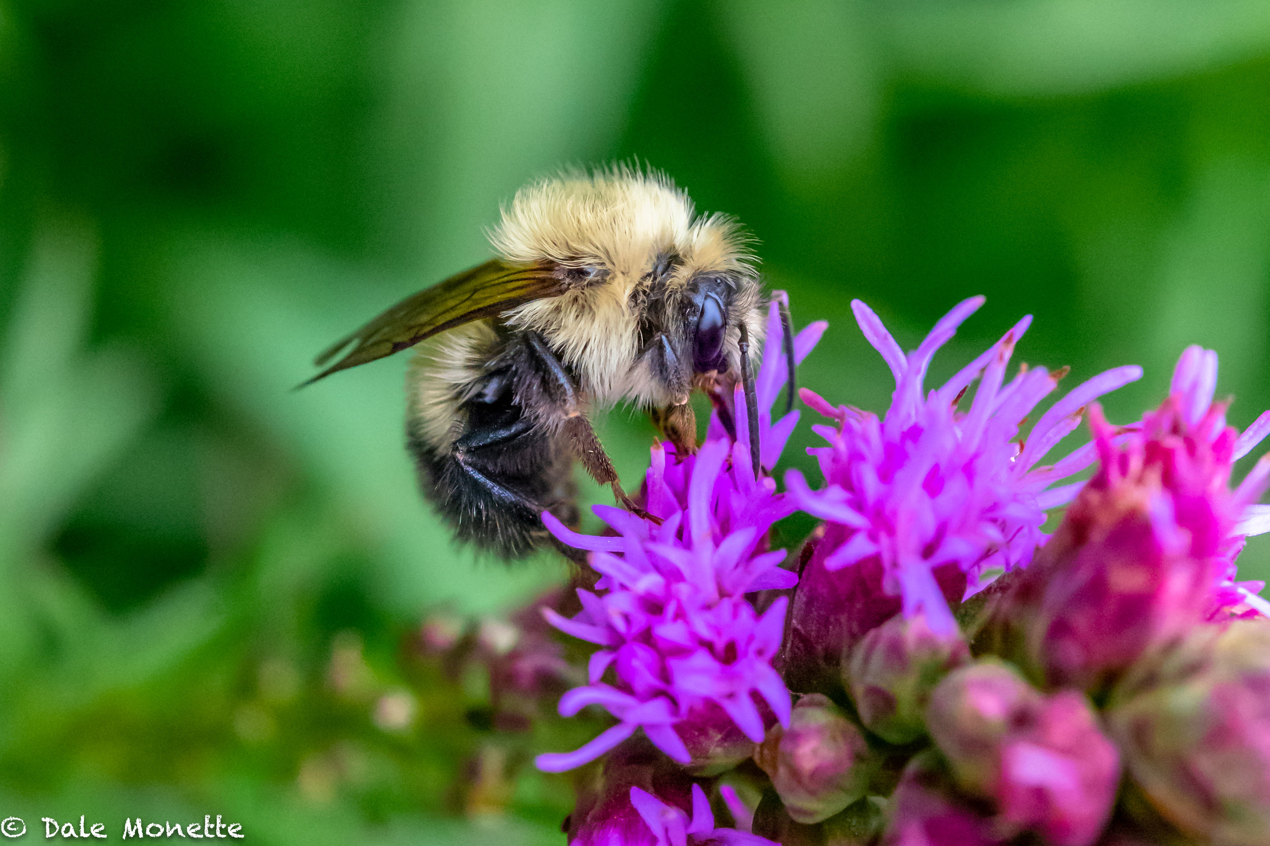 This bumble bee was taking his time with this flower so I tried out my new Nikon 60mm micro lens.. what do ya think?