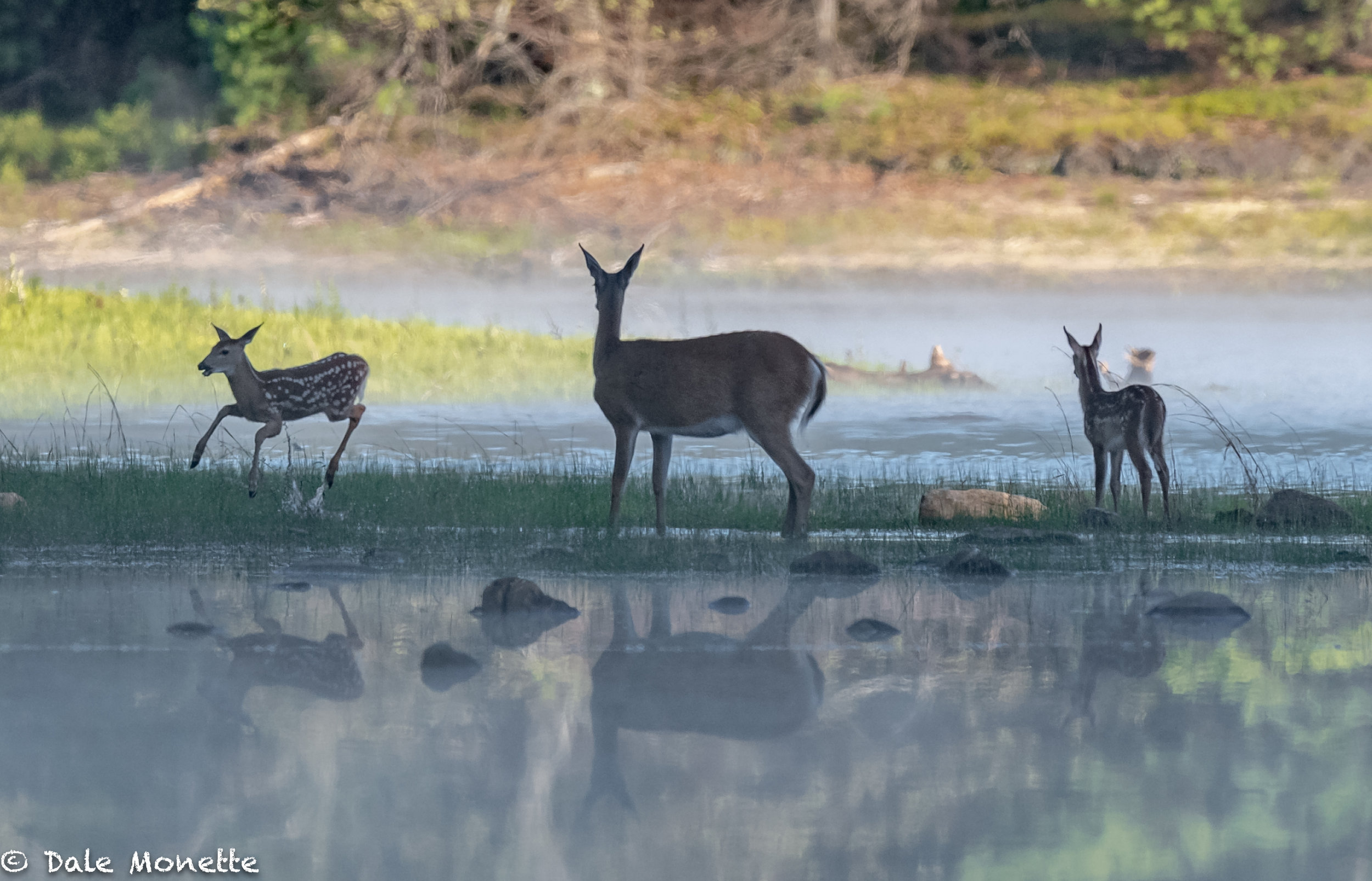 """This fawn was playing """"jumping bean"""" and every once in a while would jump all around.   It was quite entertaining!"""