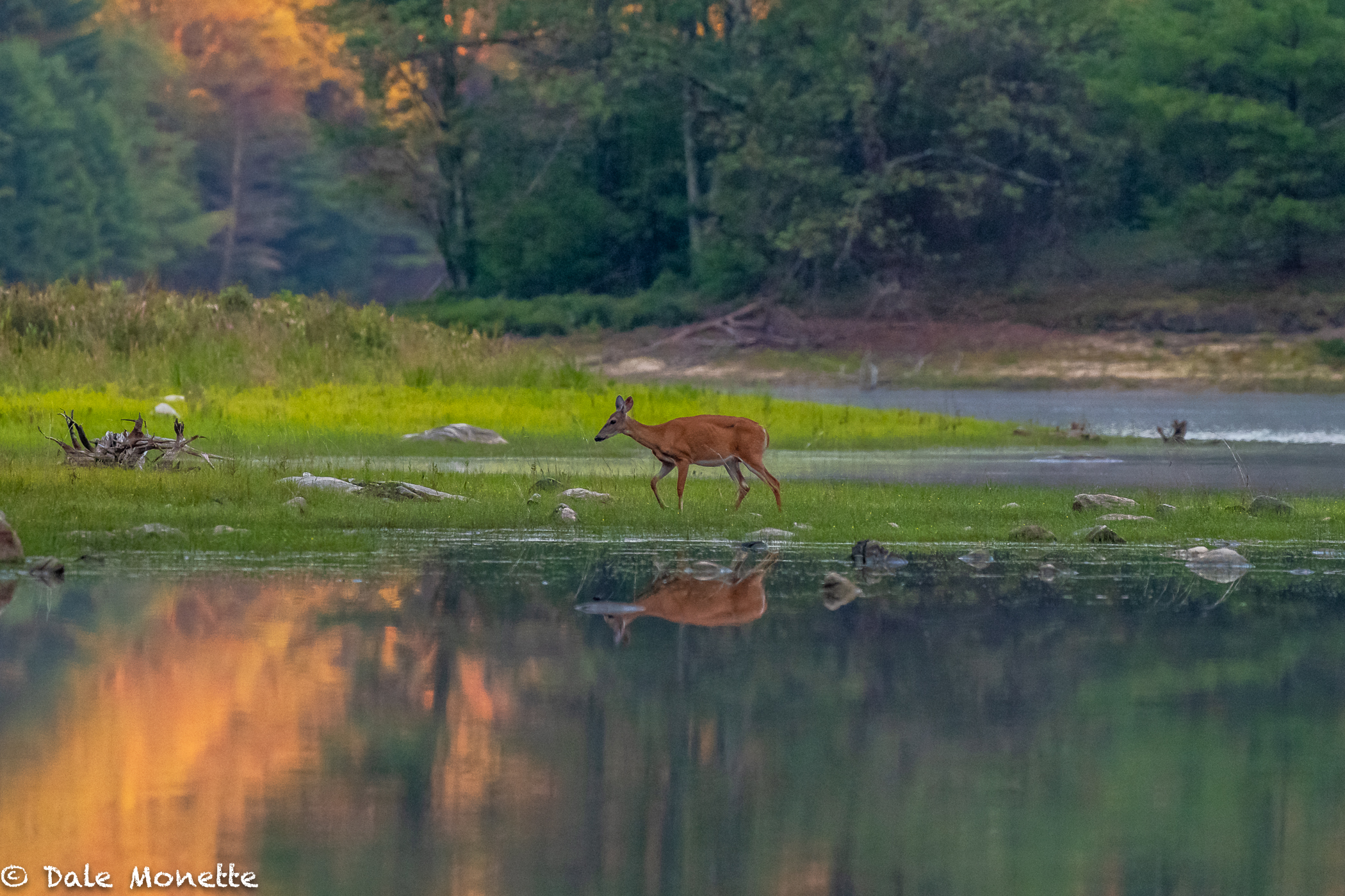 "All was quiet and watching this white-tailed doe amble the shoreline.......... 20 seconds of sun through the cloud opening.... ""click""......... never see this again in my lifetime....."