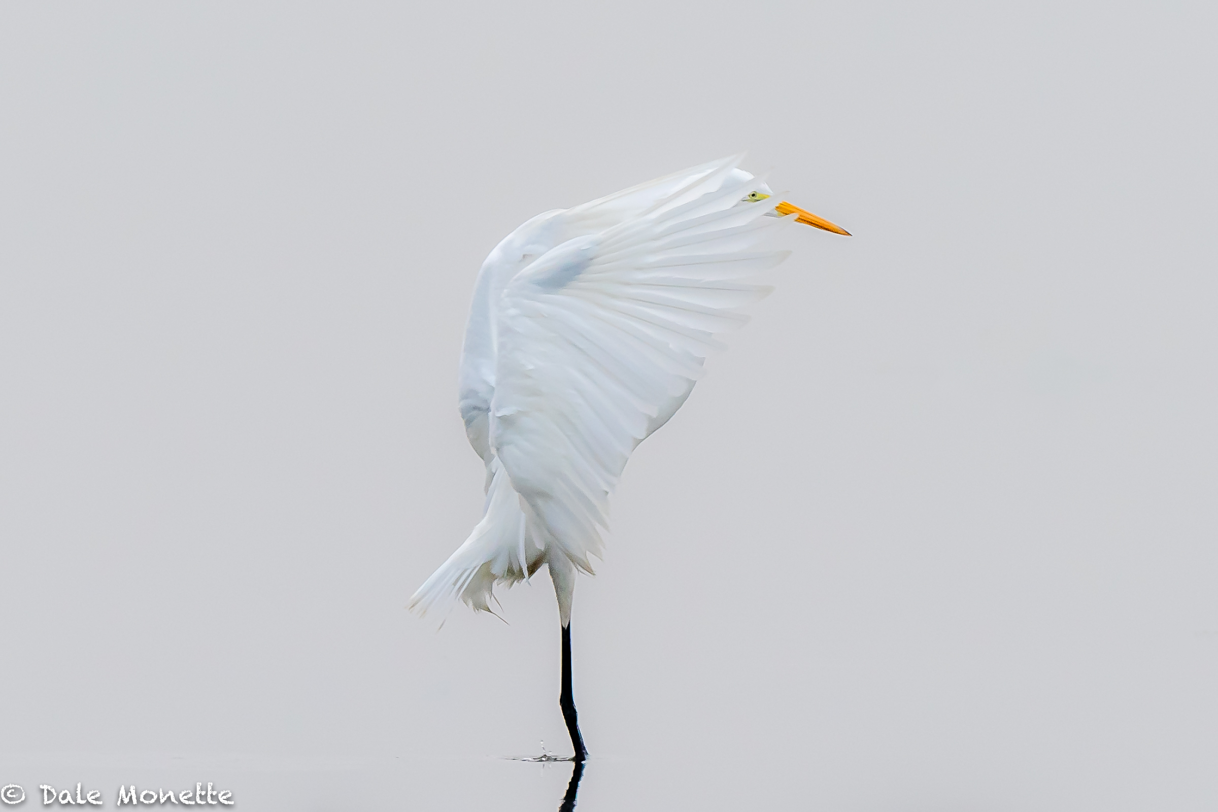 Great egret, Turners Falls MA.  8/5/18