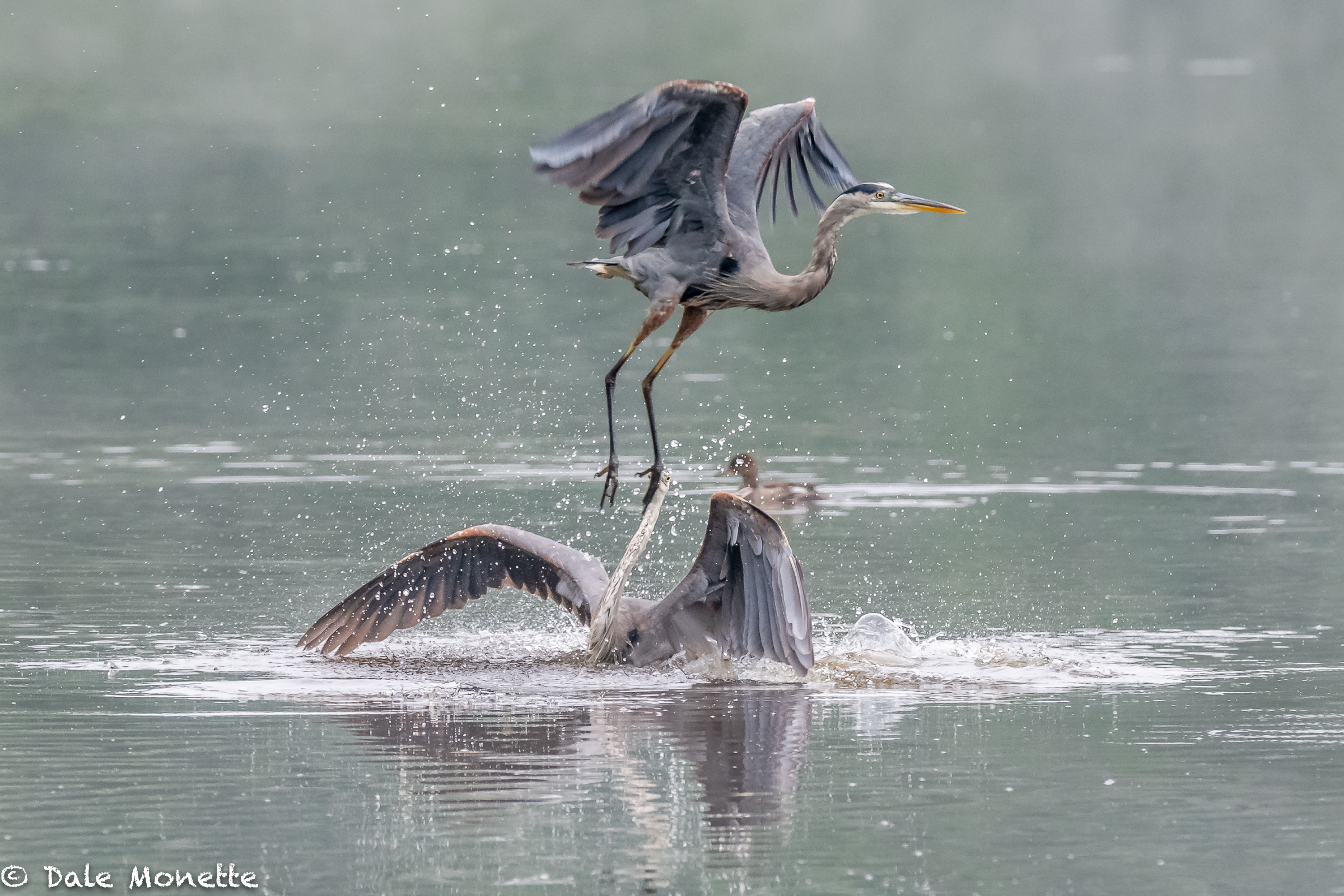 Photobomb !  Two great blue herons having a fishing area argument!