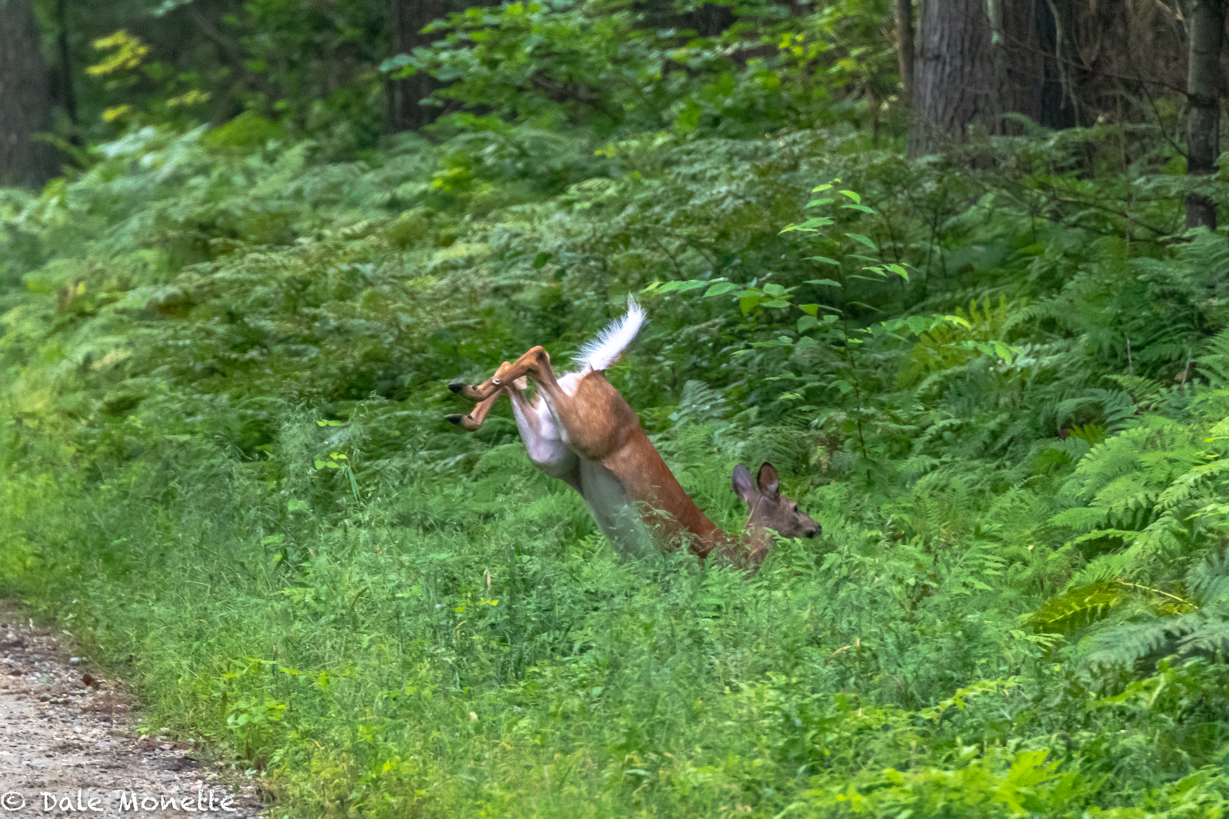 "A white tailed doe took a few bounces to cross the trail I was walking on……you can see why they call them ""white-tailed deer."