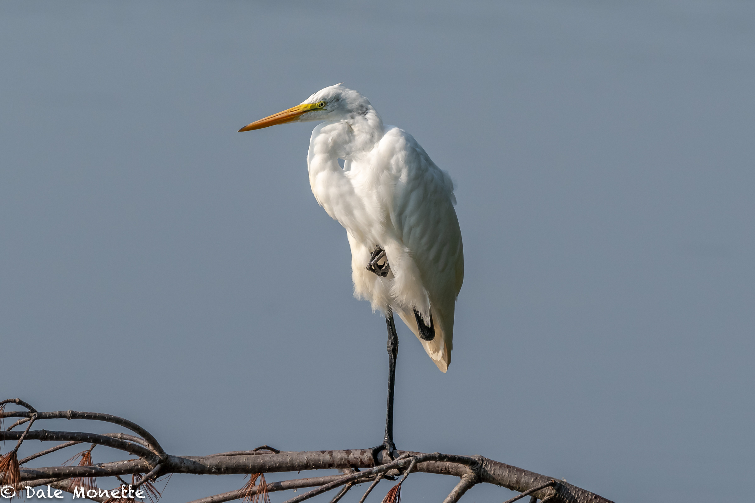 It won't be long before these great egrets are heading south for the winter.  The show up each year from the coast between July and August, then all leave as quickly as they arrive.