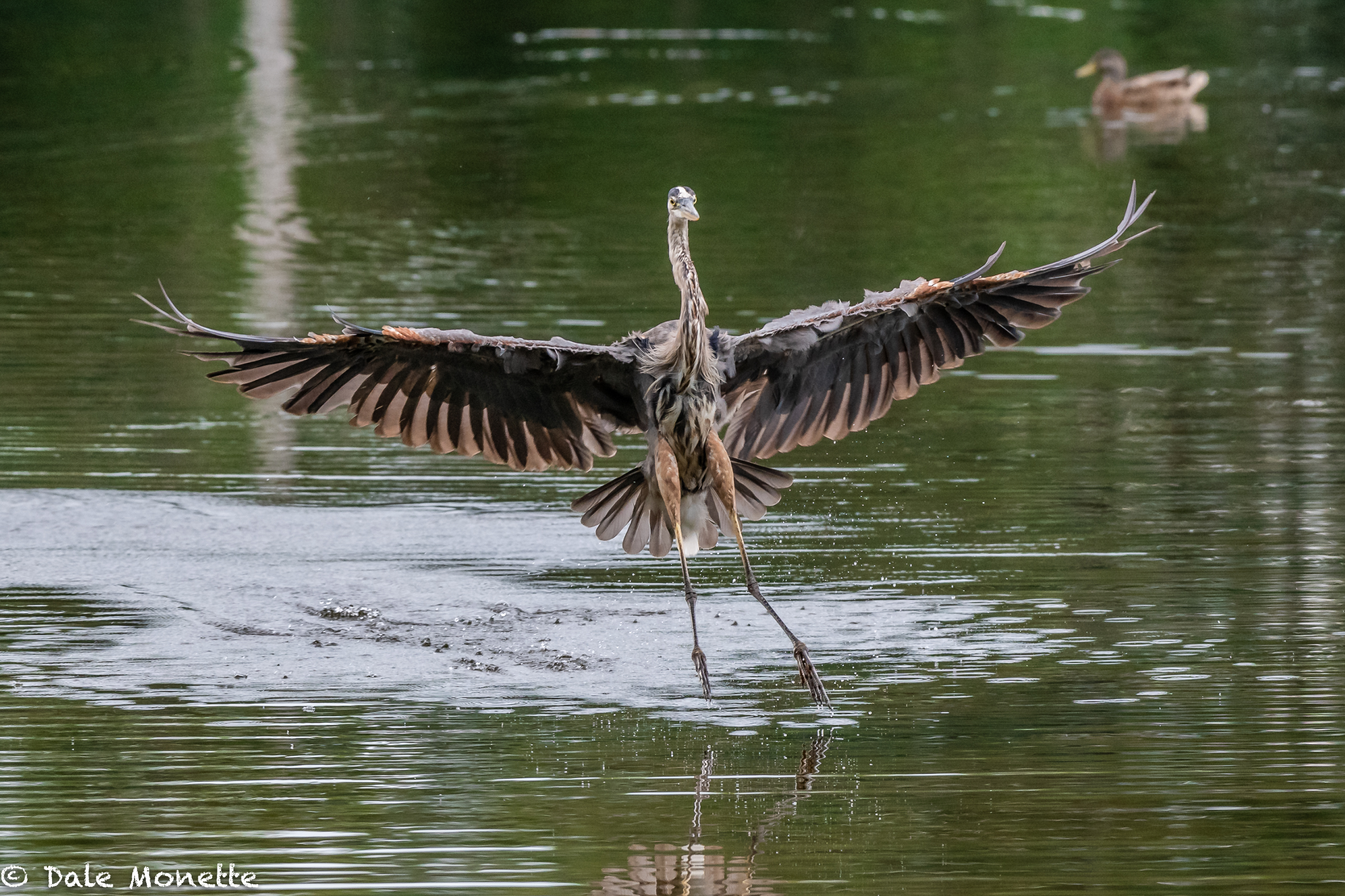 Here is a seven foot wingspan of this great blue heron… they look large and heavy but they only weigh between 5 to 7 pounds.