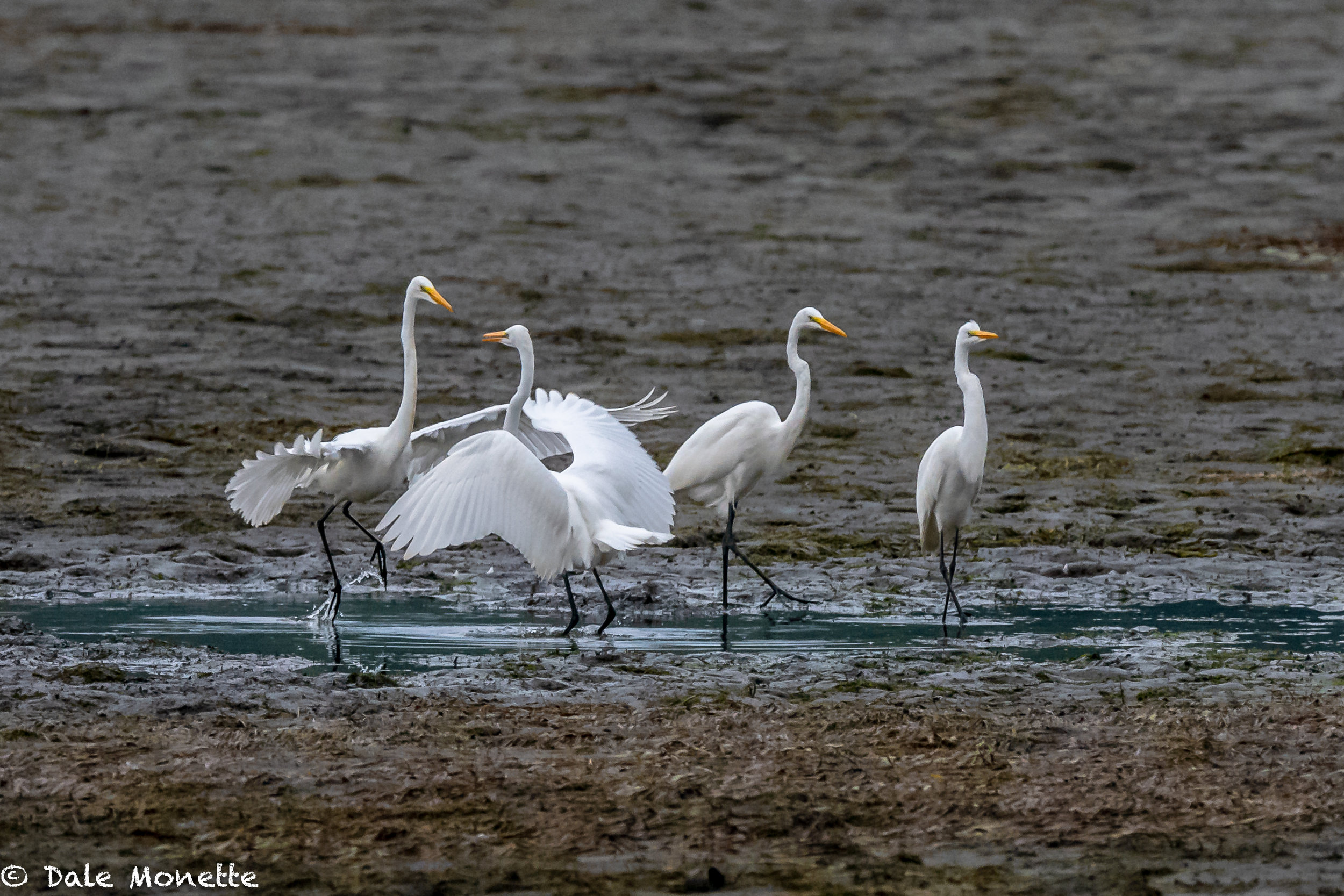 These 4 great egrets were all fishing in this small pond that was not far from the CT River.