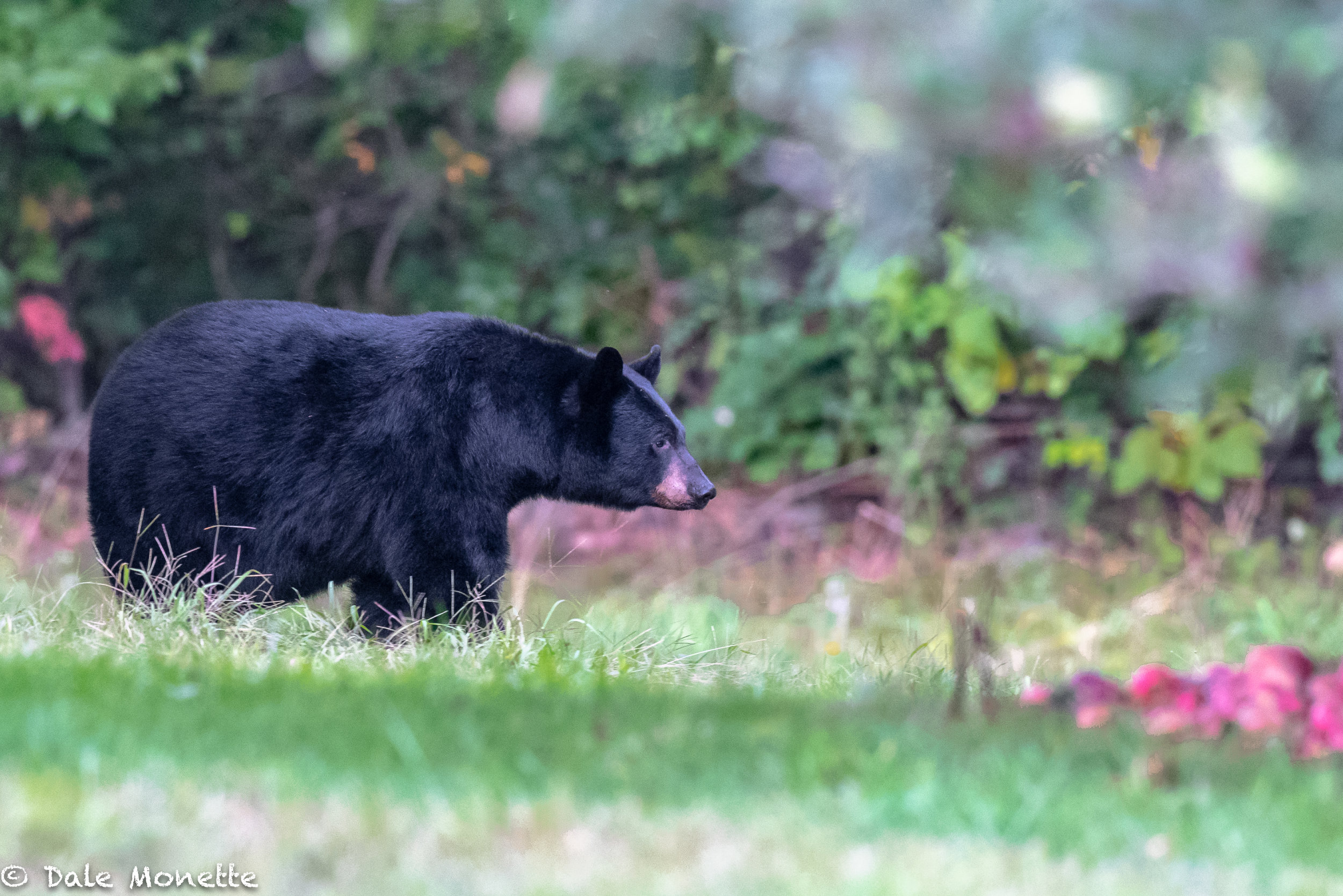 This large bear is zeroing in on a pile of apples that have fallen and thinking what a find !